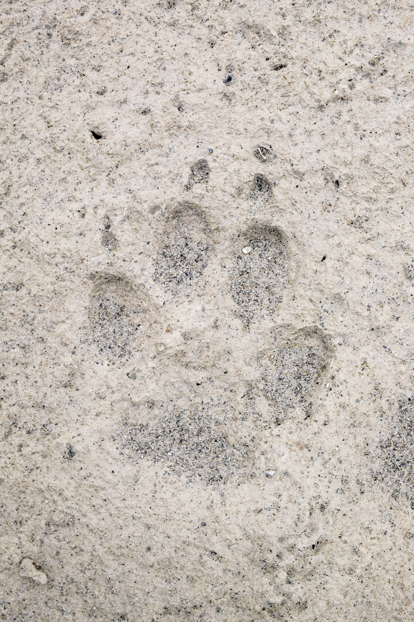Grizzly bear tracks in Gates of the Arctic in Alaska.