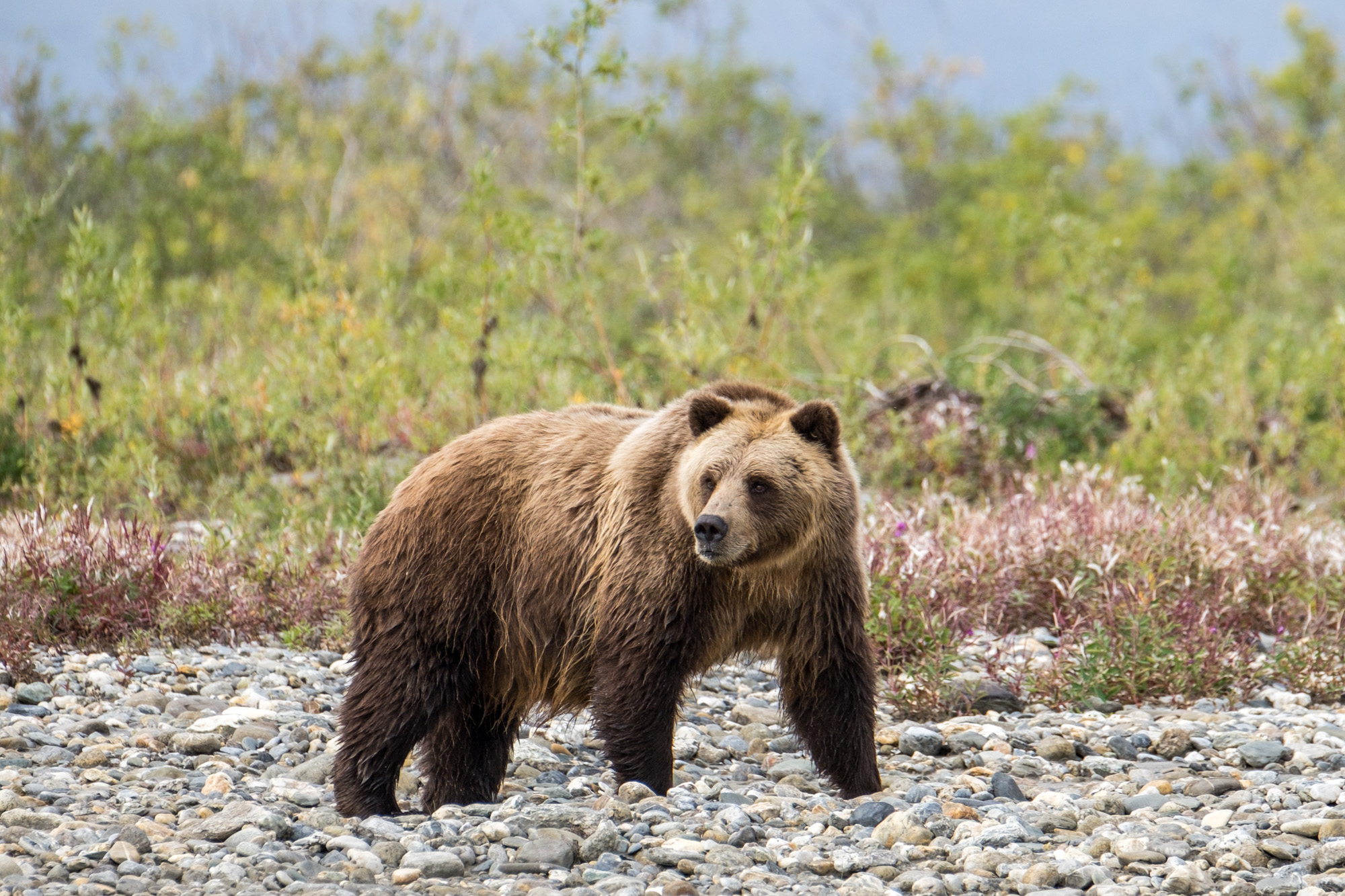 Grizzly bear in Gates of the Arctic in Alaska.