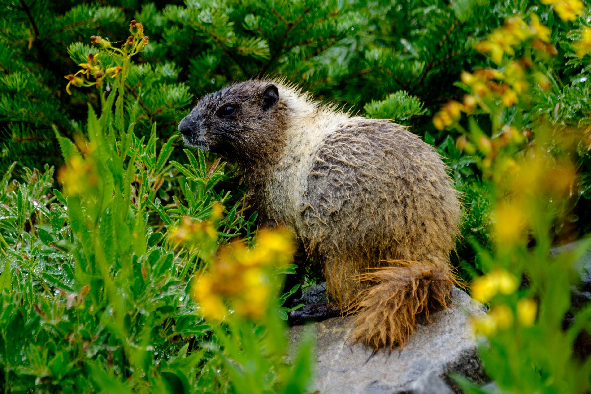 A marmot hangs out on Skyline Trail.