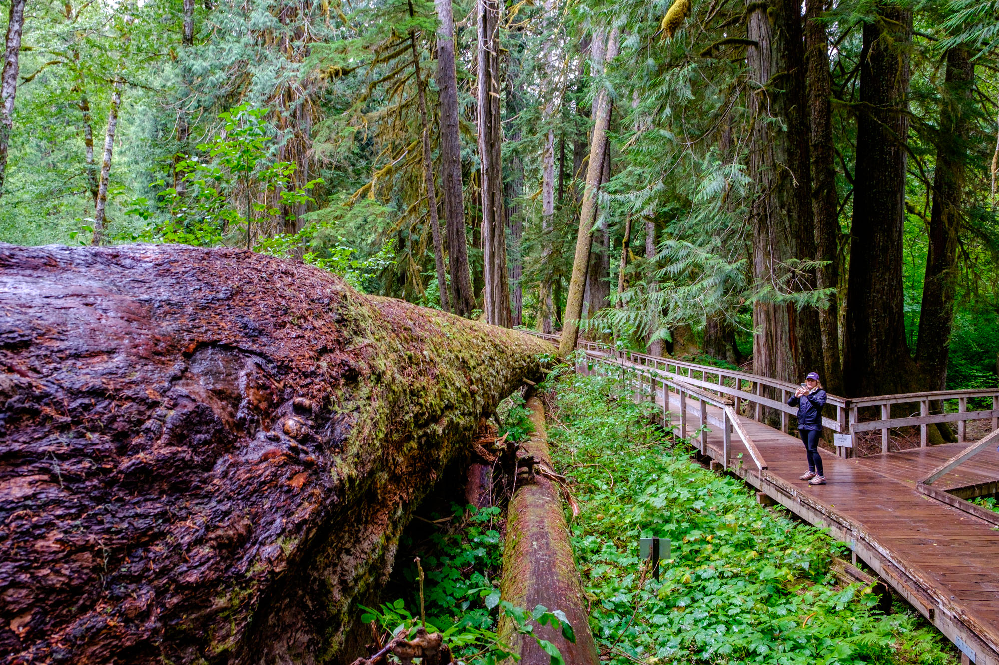 Pondering the height of this massive downed tree...it is huge!