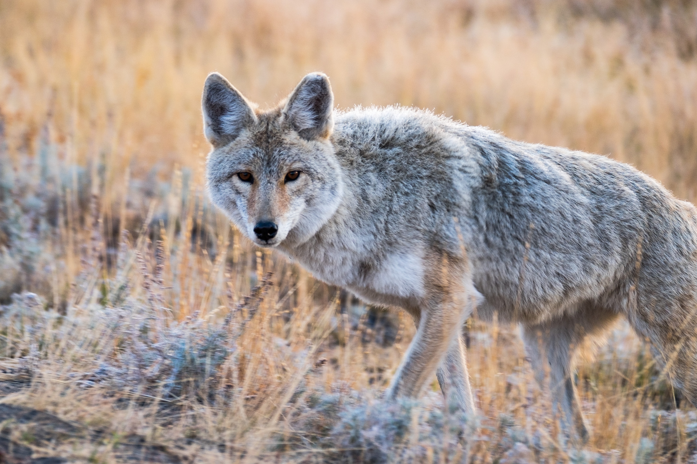 A coyote scanning the land for food in the early morning hours.