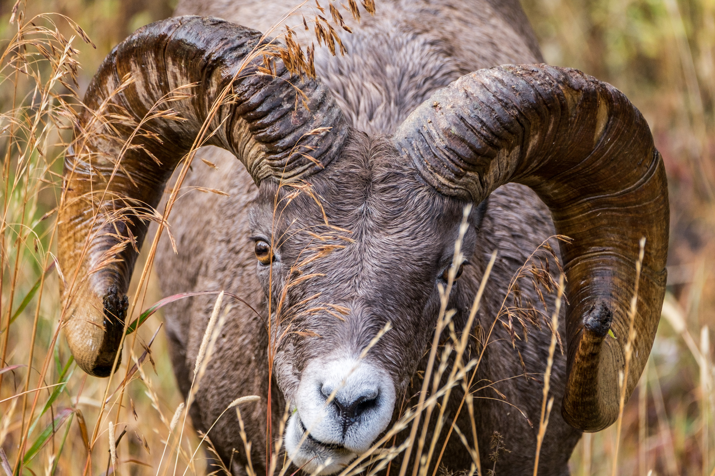 A Big Horn Sheep staring down the camera as it grazes.