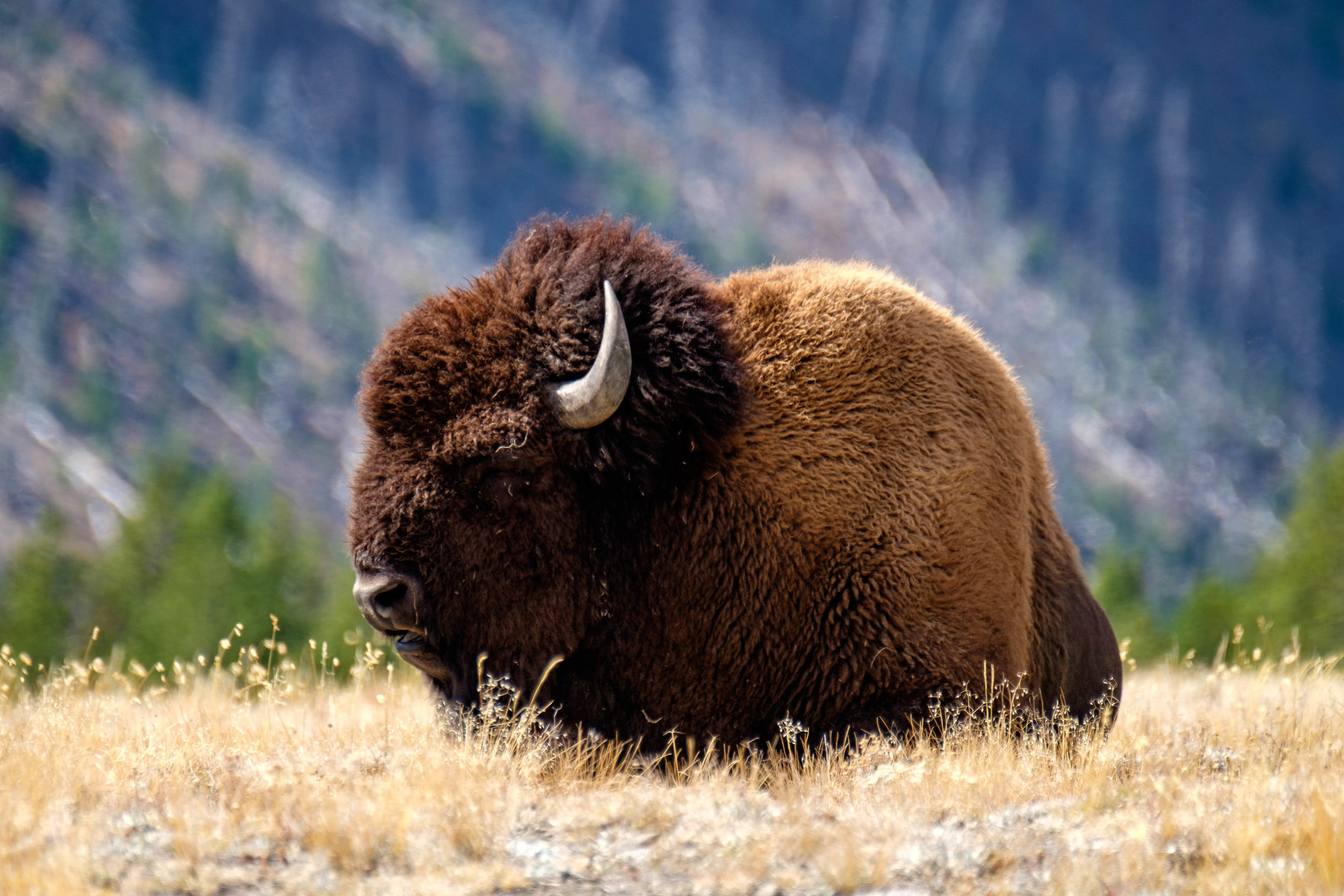 The National Park Service chose this animal, the American bison, to represent all of American wildlife on their logo insignia.