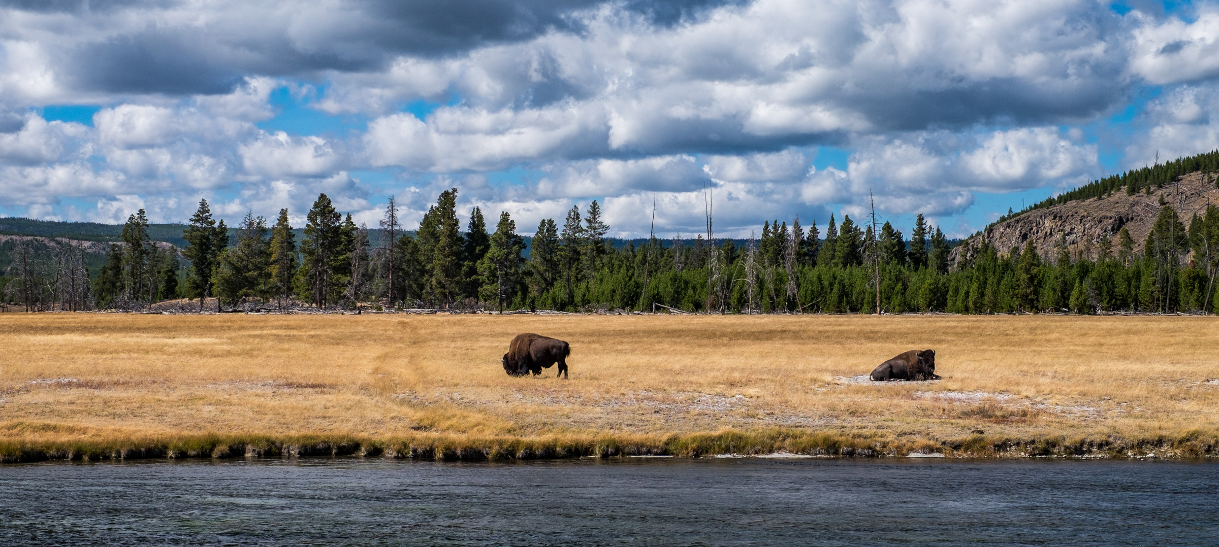 The American Bison is synonymous with Yellowstone Park.