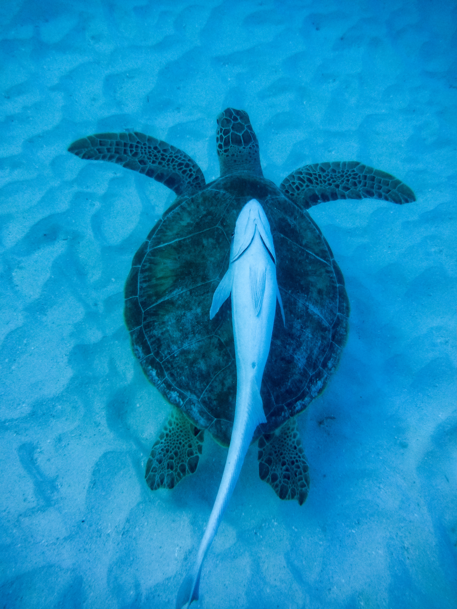 Sea turtle and fish friend in Virgin Islands National Park