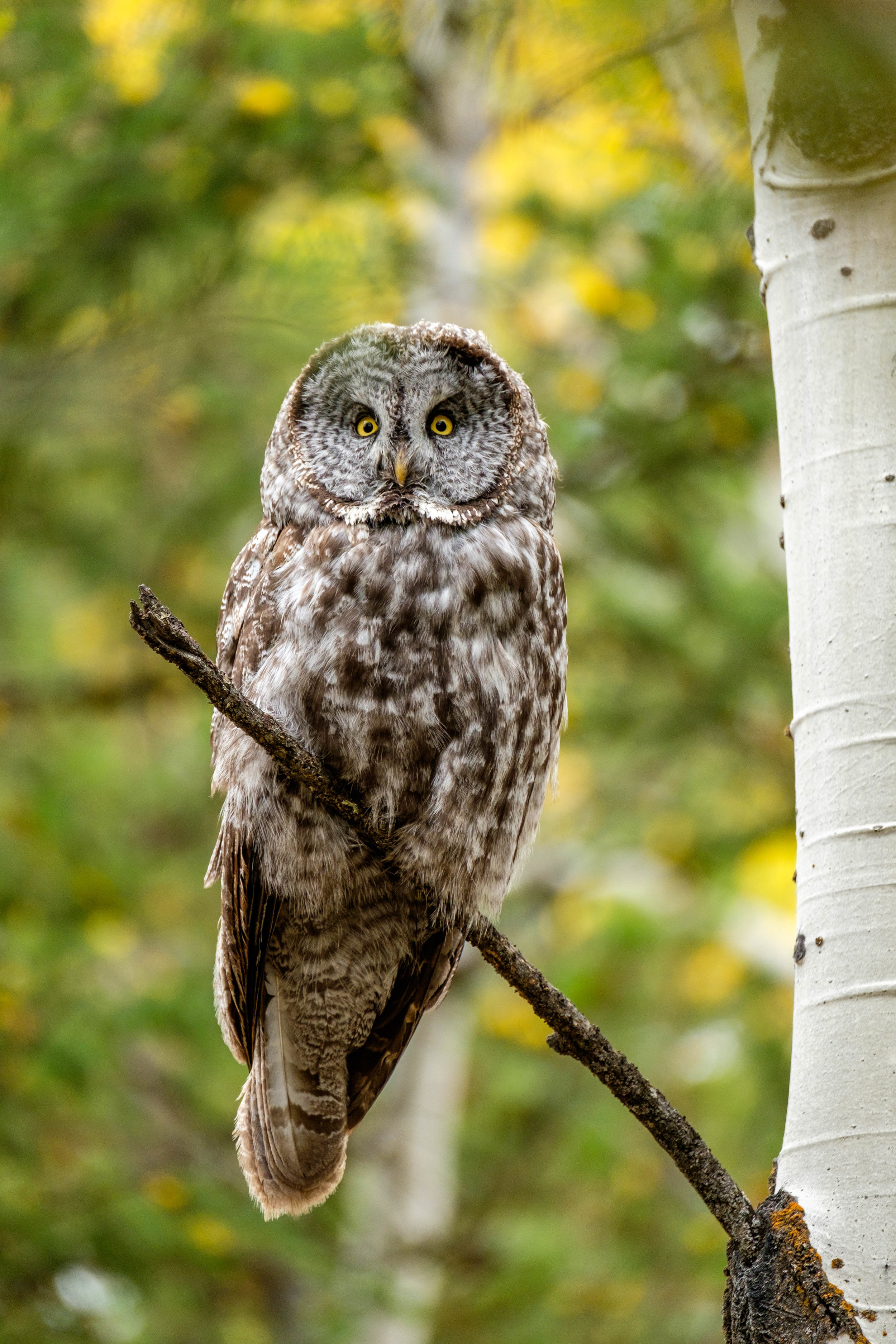 Witnessing a Great Gray Owl close-up was one of the highlights of our time in Grand Tetons.