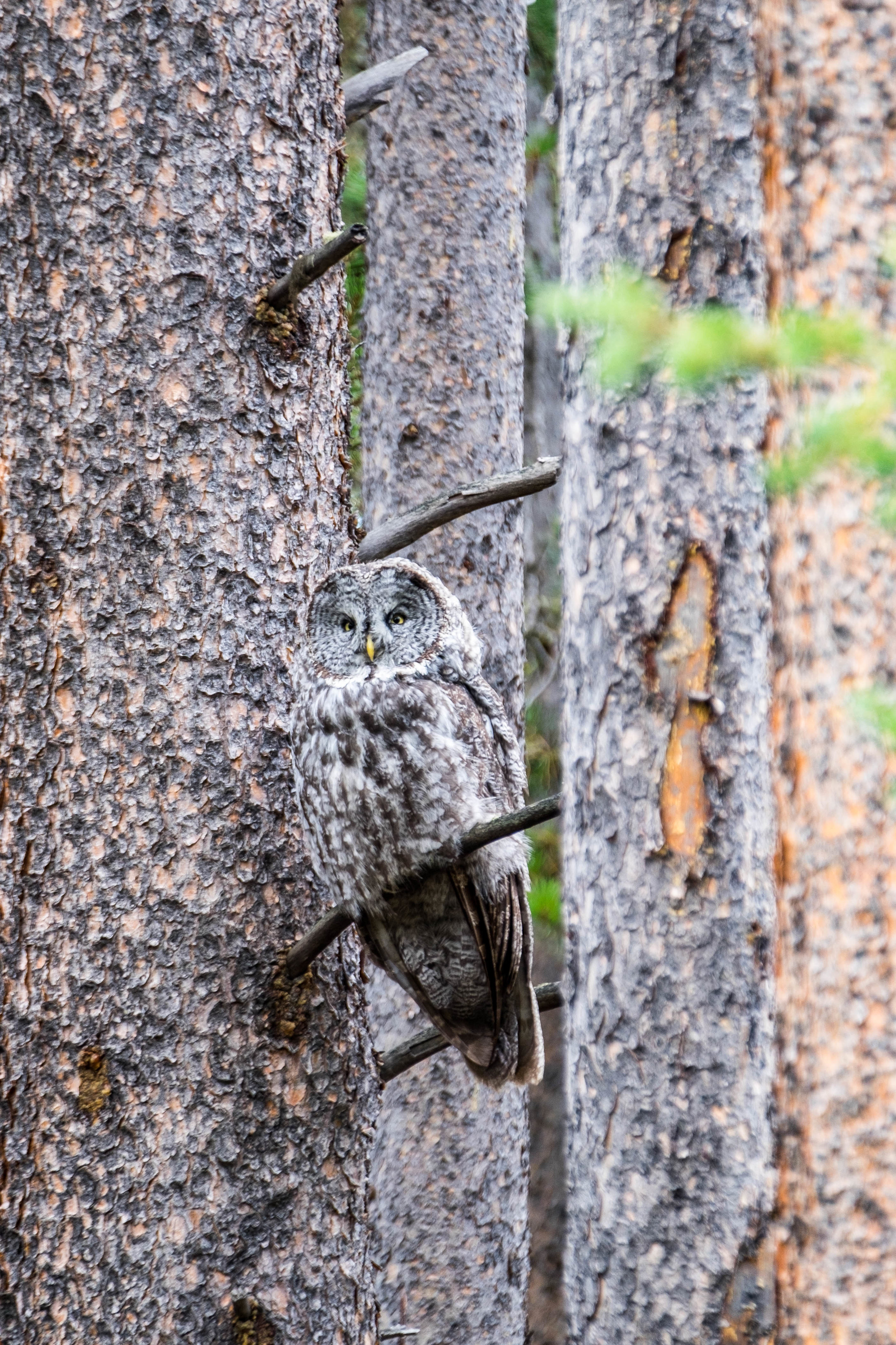 Can you spot the owl? Amazing camouflage.