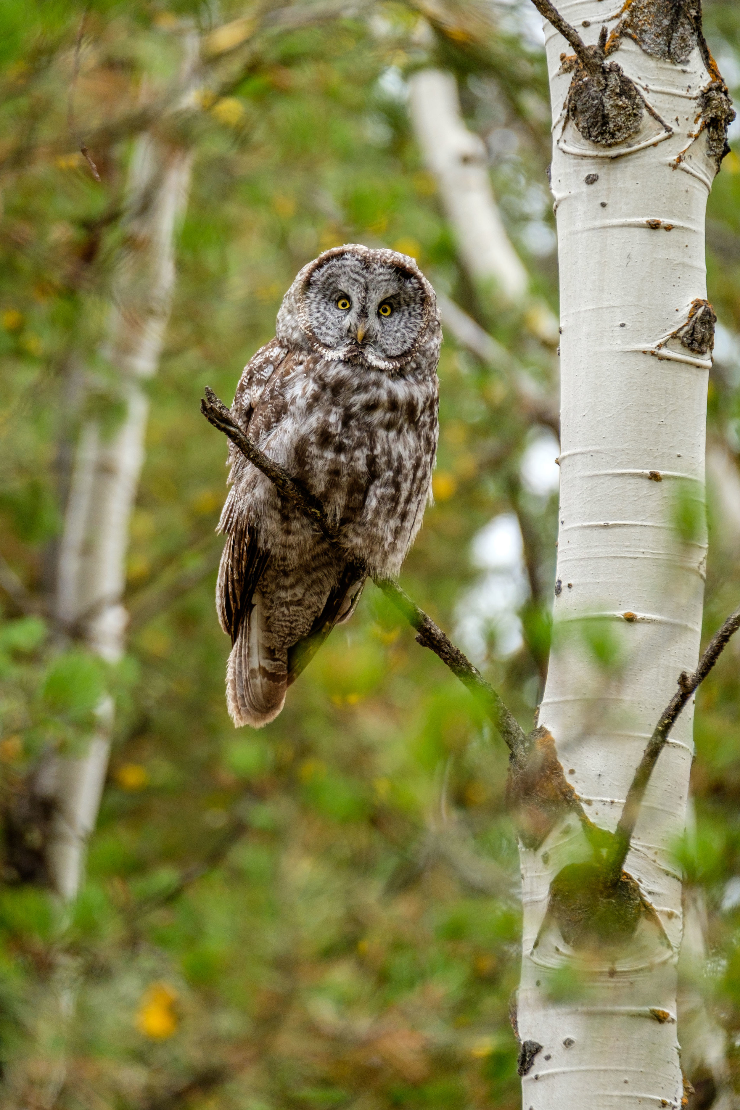 A Great Gray Owl next to an aspen tree in the Grand Tetons.