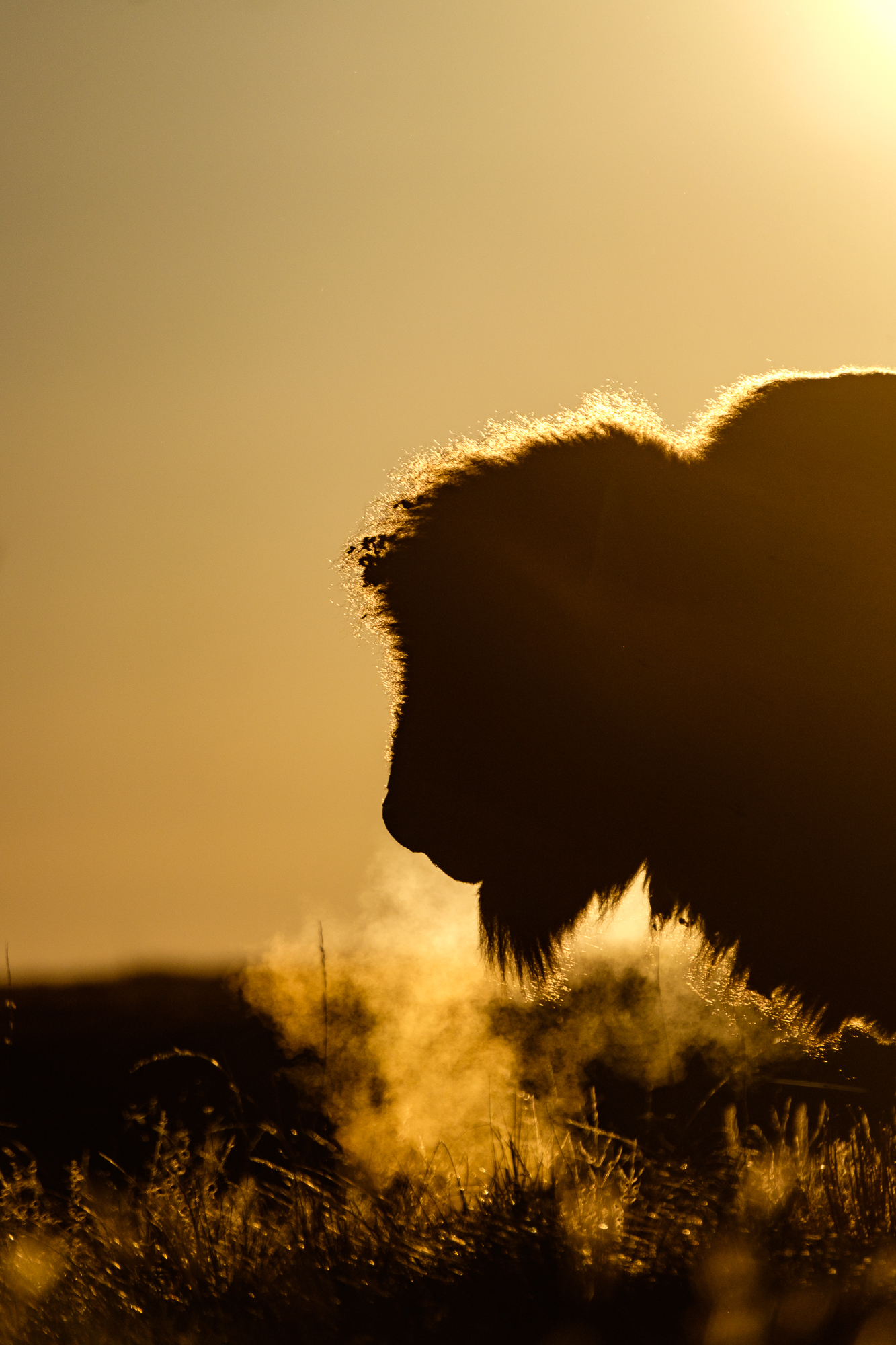 A bison's hot breath steams up a sunrise morning.