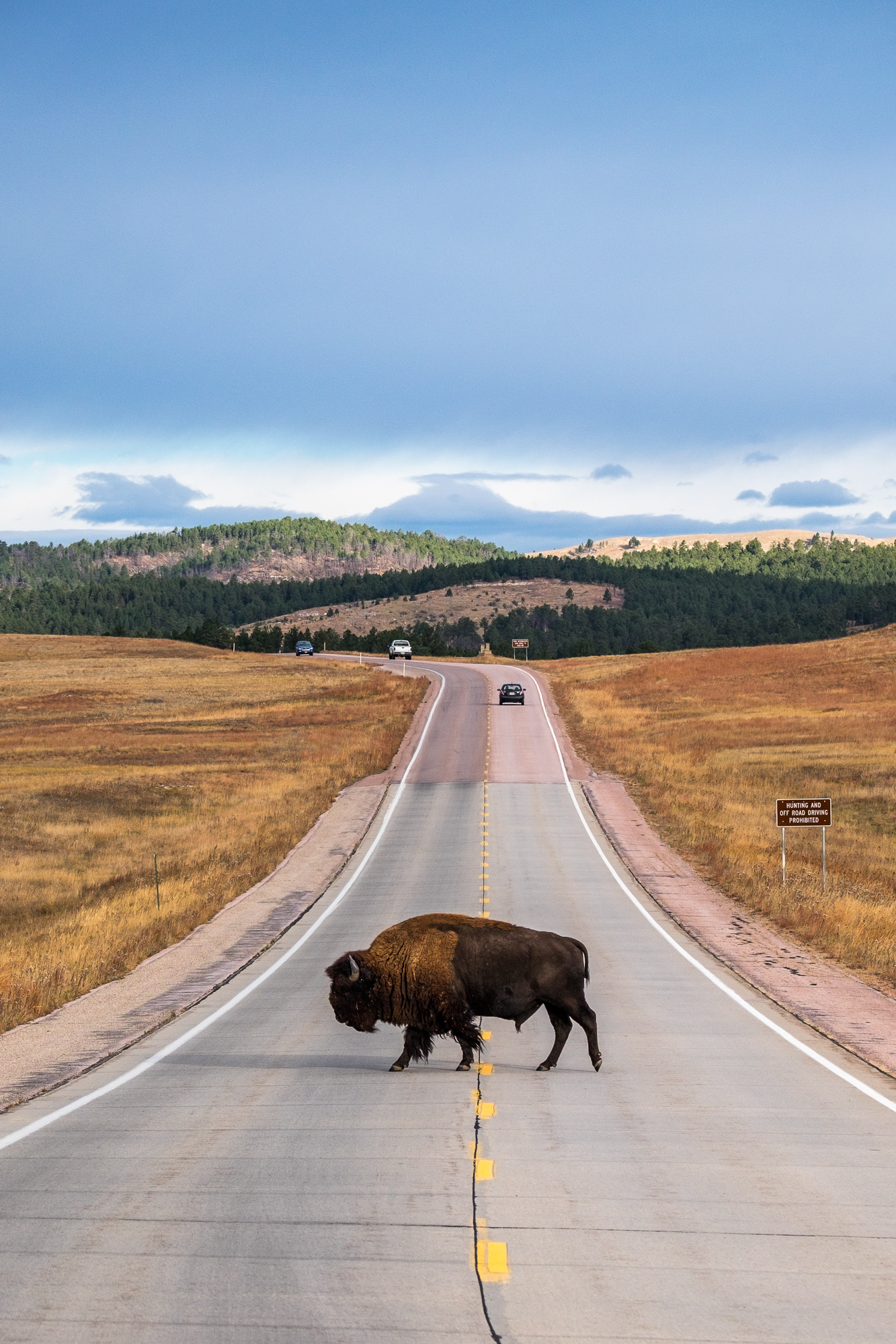 A bison crosses U.S. Hwy. 385, the main thoroughfare through Wind Cave National Park.
