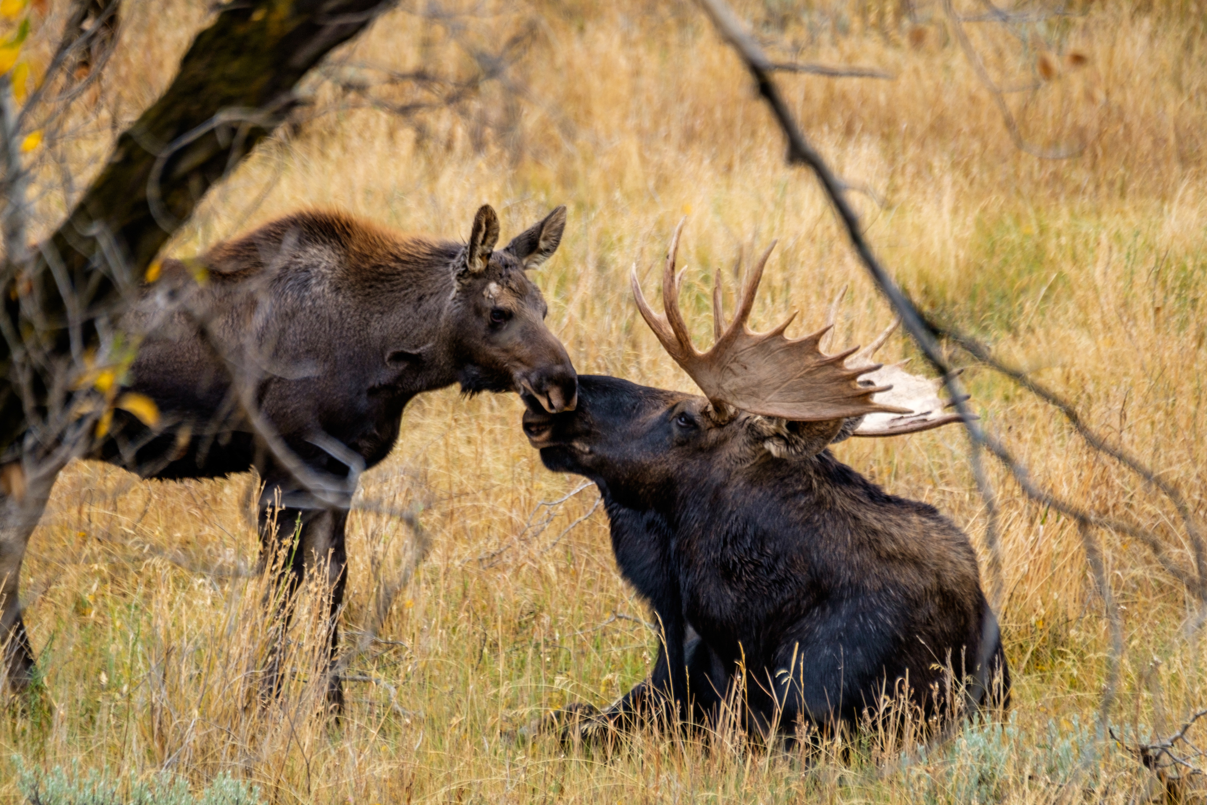 A moose moment in Grand Tetons National Park in Wyoming.