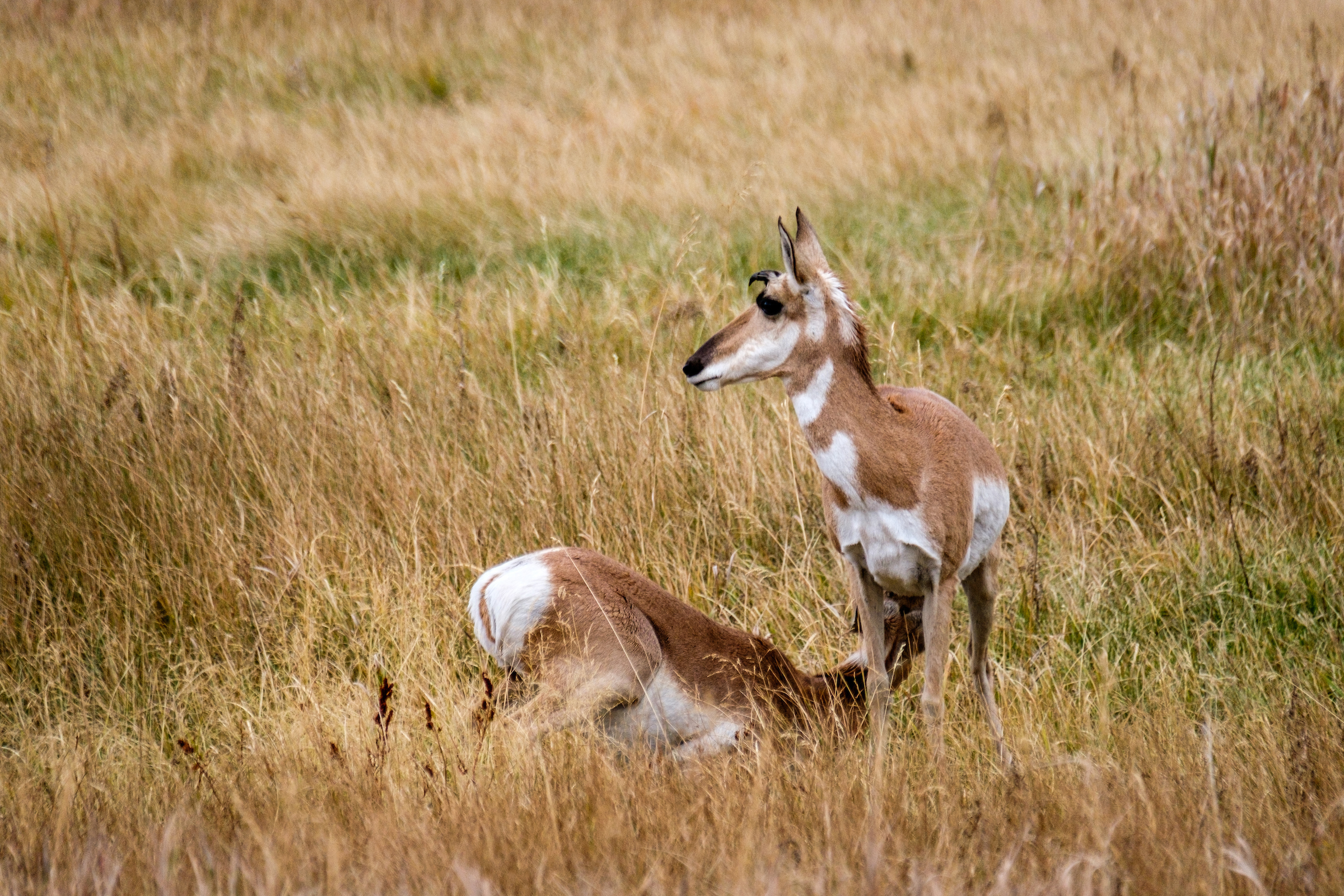 Pronghorn antelope feeding from his momma in Grand Teton in Wyoming.