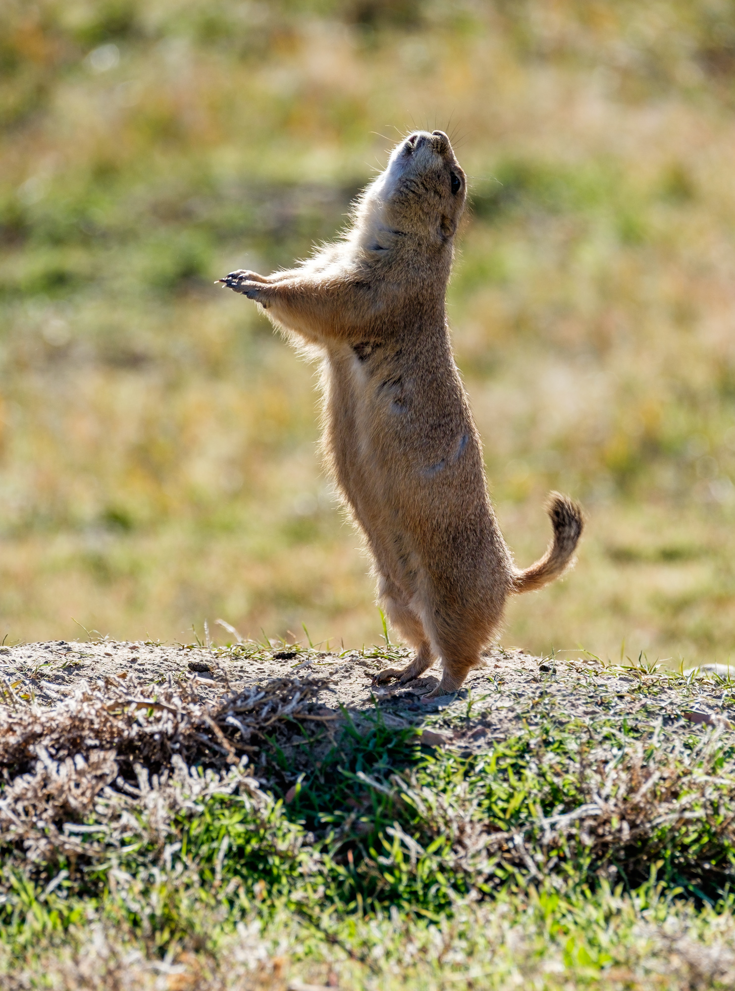 Where there are prairies, there are prairie dogs.