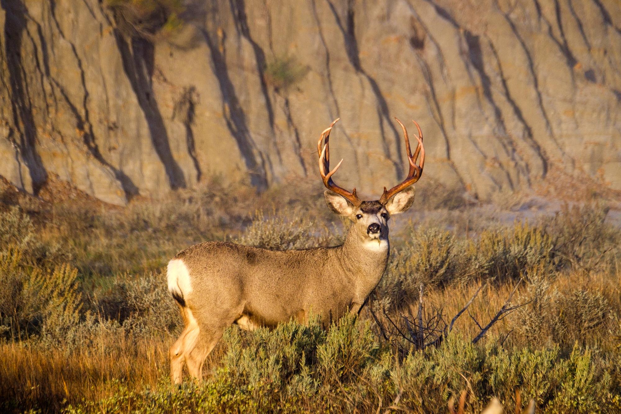 A fully grown male mule deer.