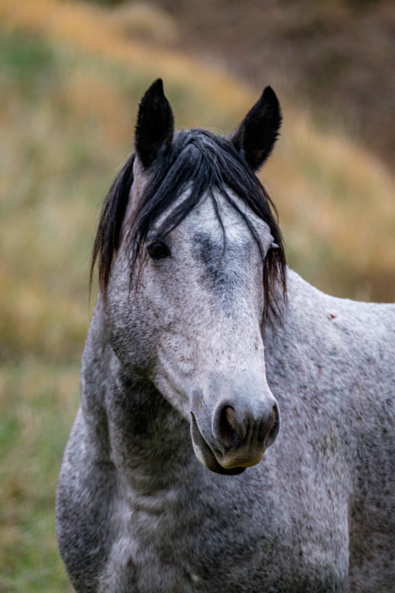 The stallion.