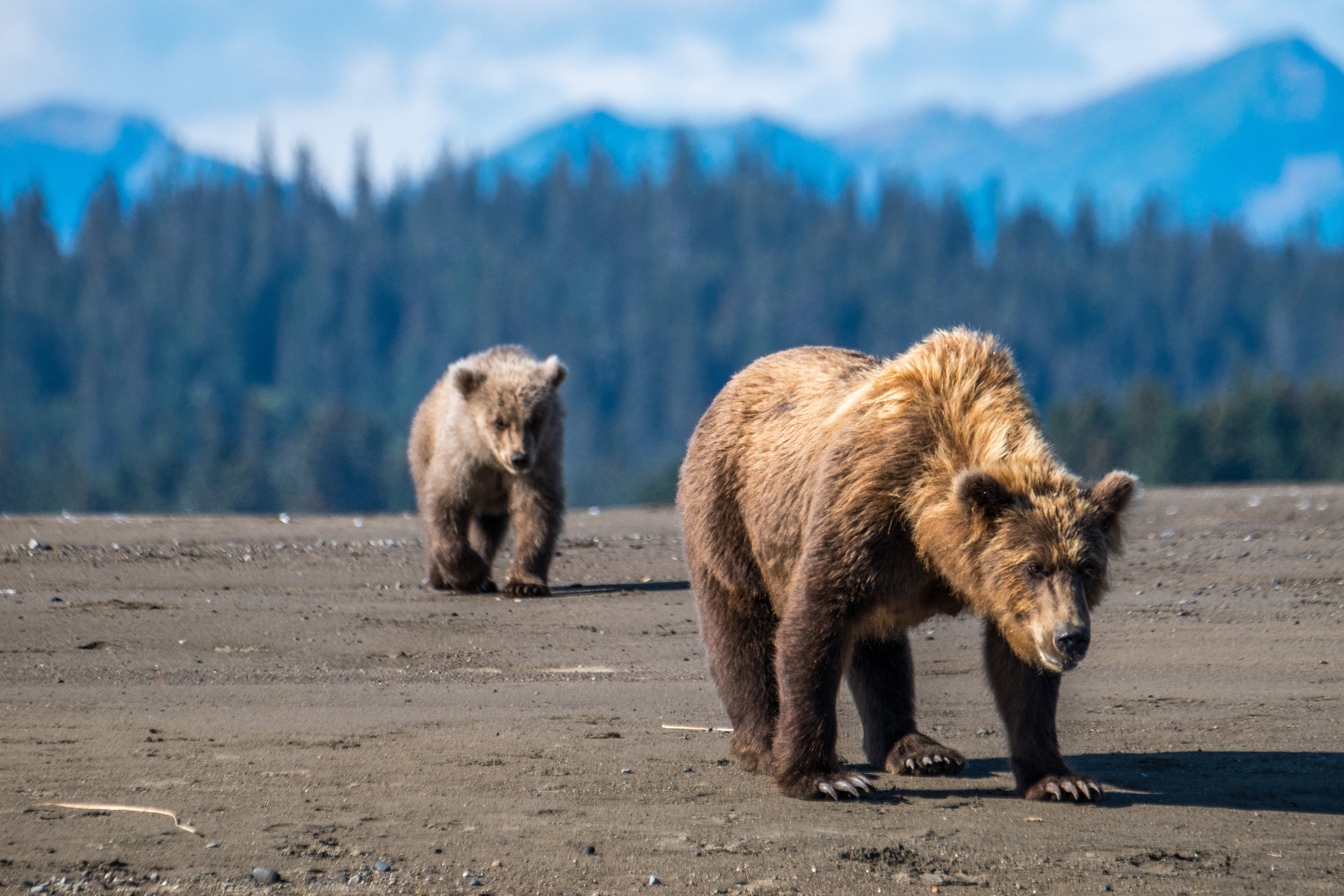 This is not a zoom shot — up-close and personal bear viewing in Lake Clark is what makes this park a standout in terms of wildlife sightings. Credit: JONATHAN IRISH