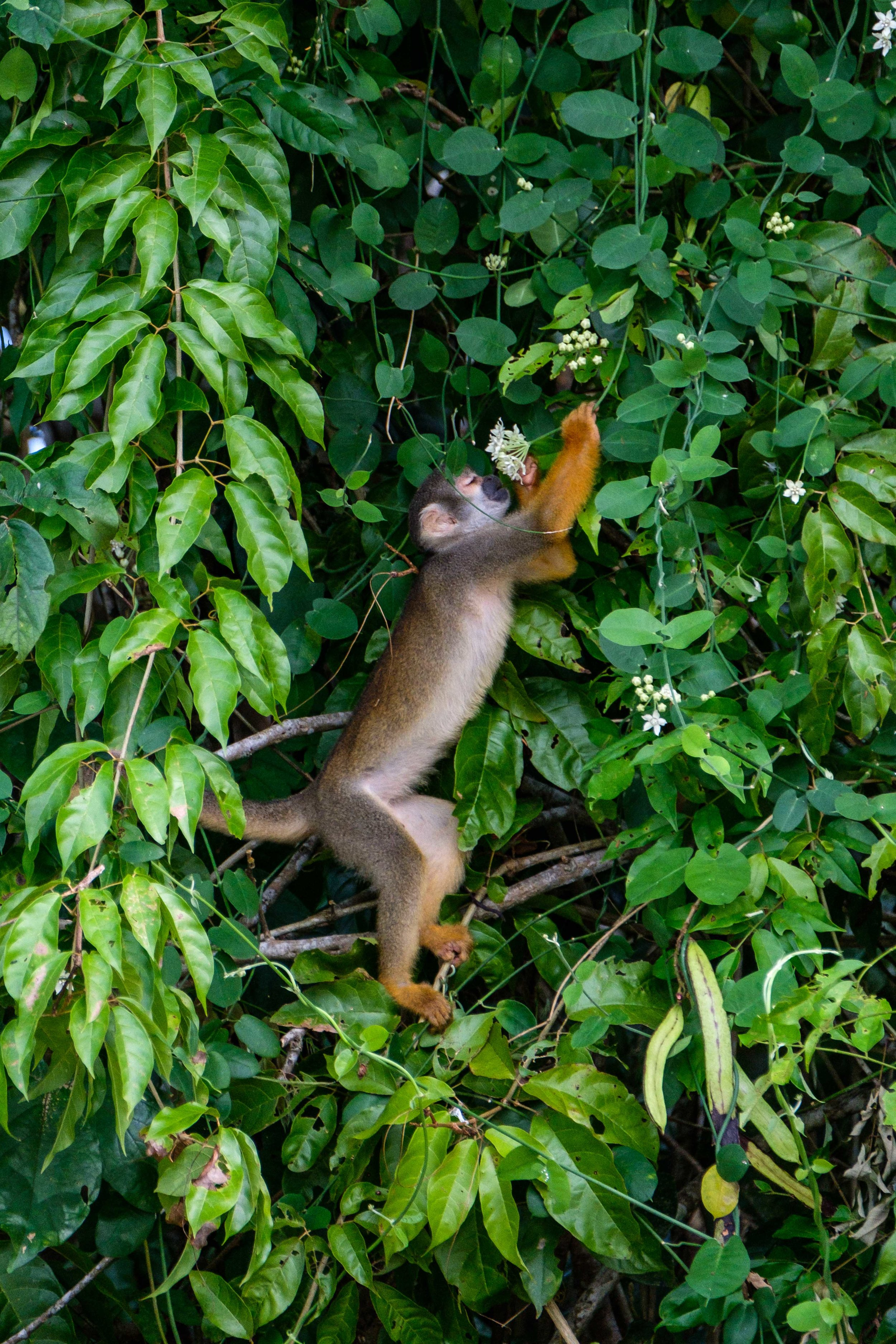 A Squirrel Monkey forages for the day's meal.