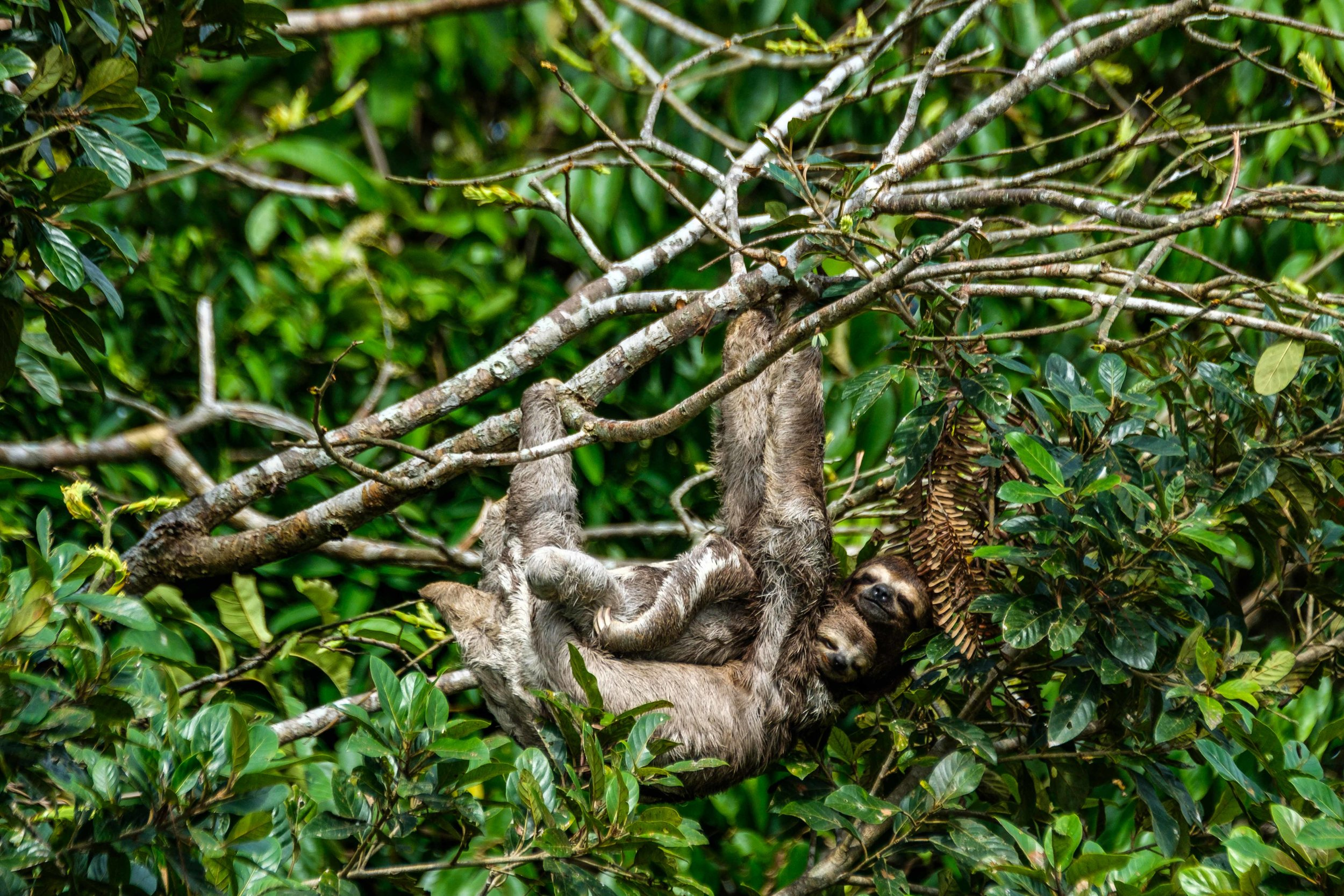 A three-toed sloth with a baby look back from high up in the tree.