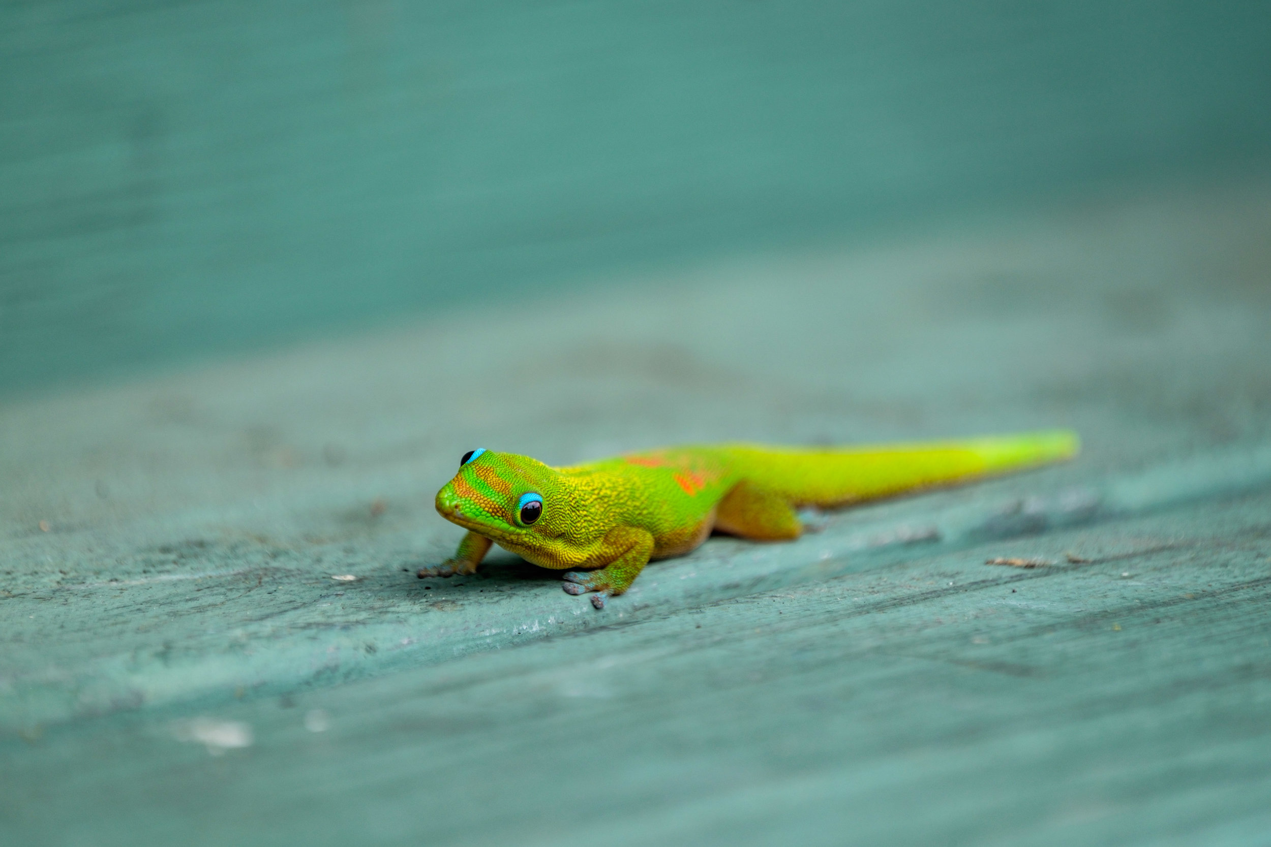 We found this colorful little lizard on a bench outside a thriftstore.