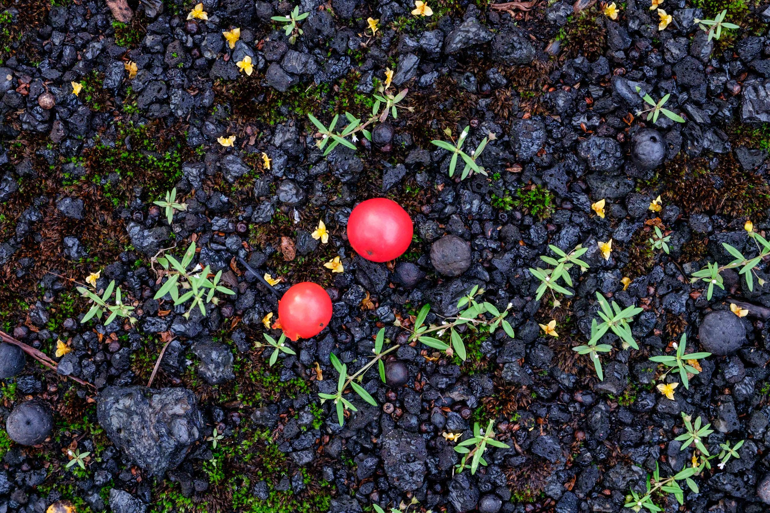 Palm cherries on the black volcanic cinder grounds.