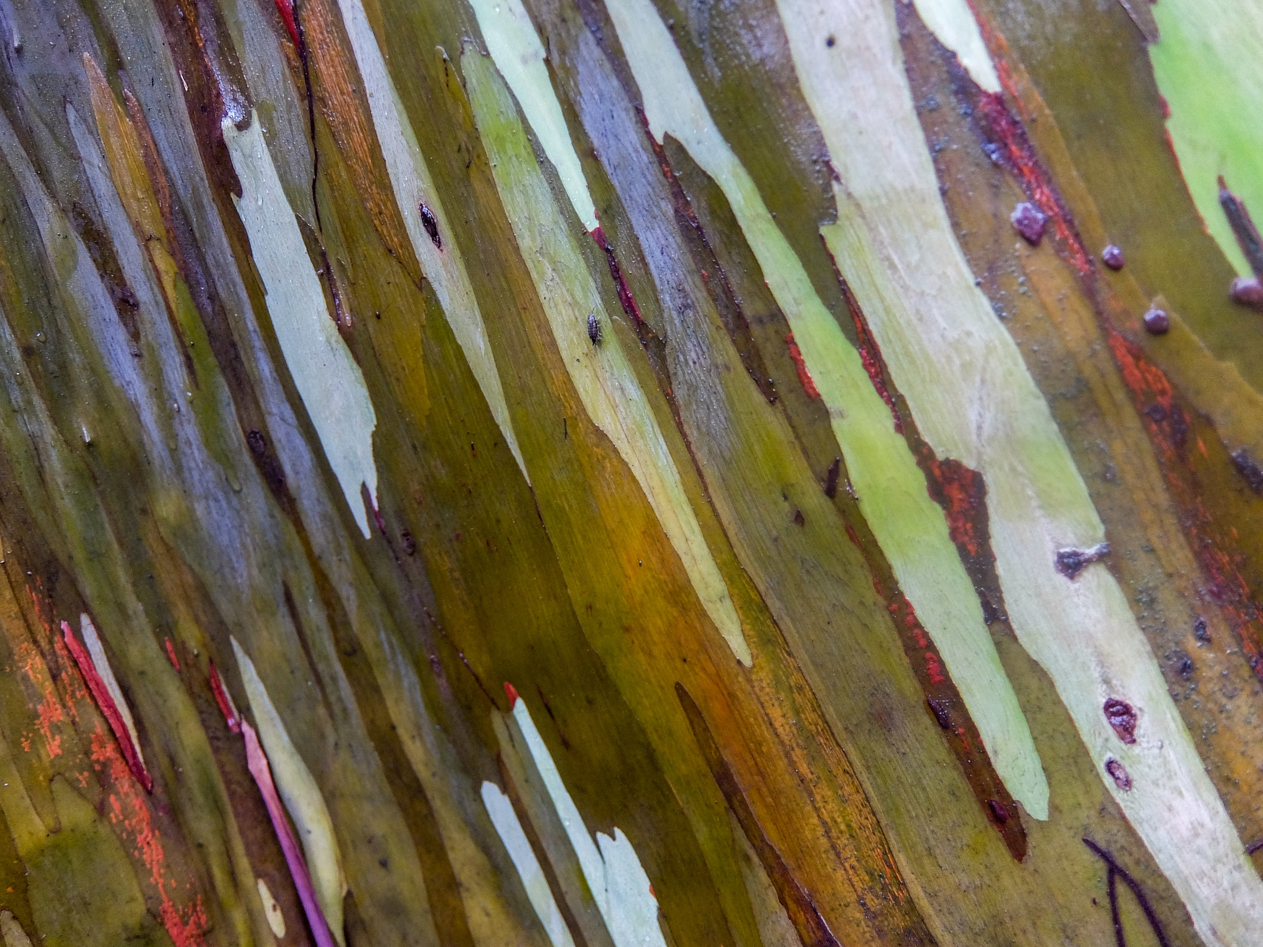 Rainbow eucalyptus are among the world's most colorful trees.
