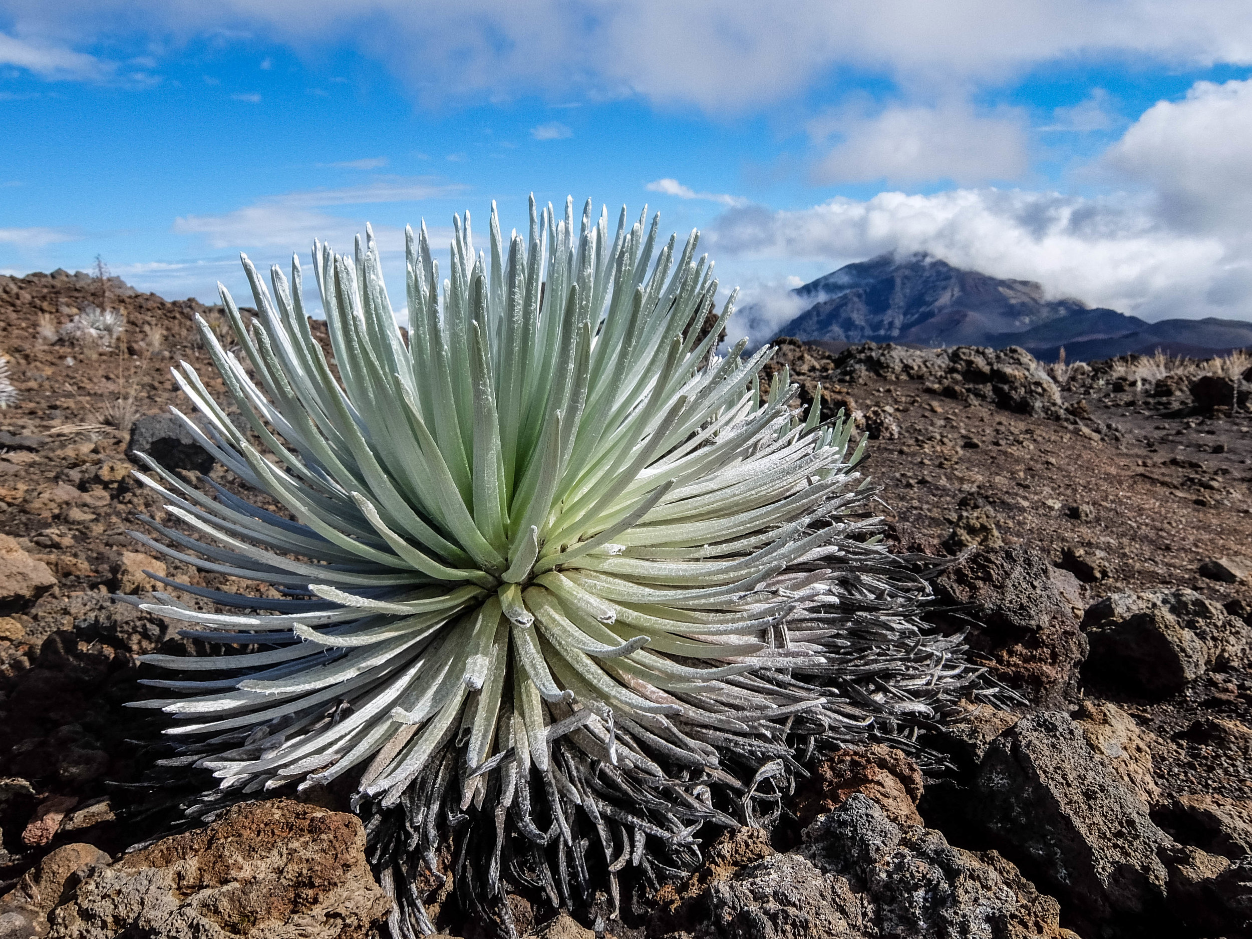The endangered Silversword can only be seen in Haleakalā National Park.