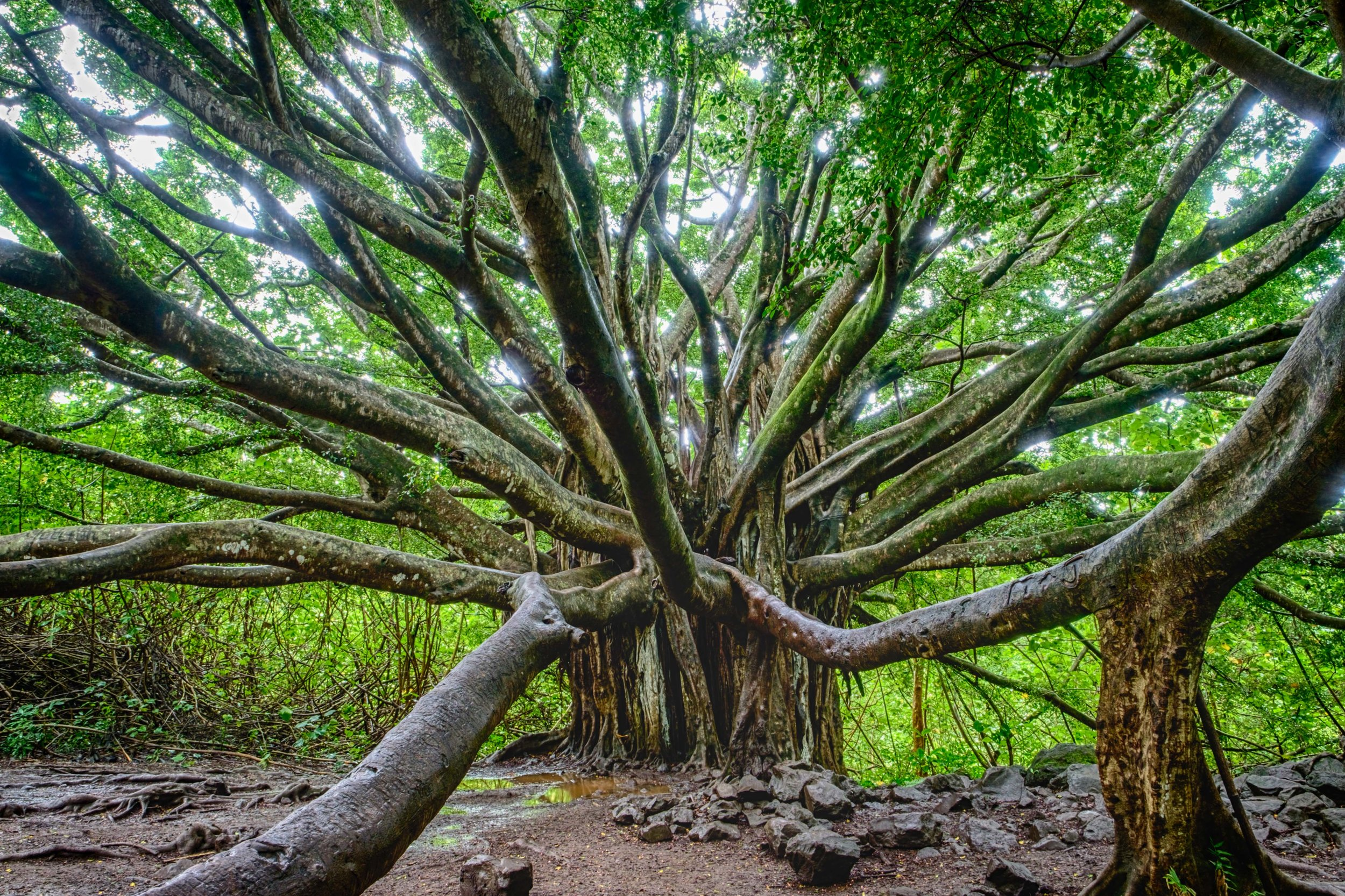 A fairytale Banyan Tree about a mile in on the Pipiwai Trail.