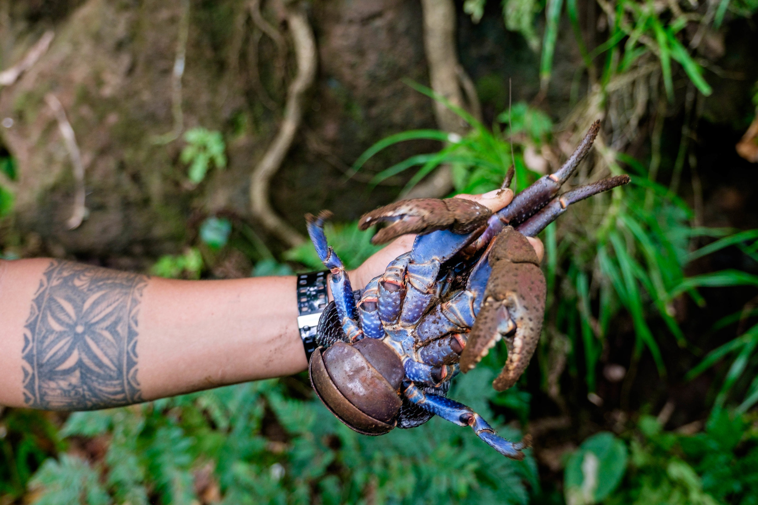 Coconut crab!