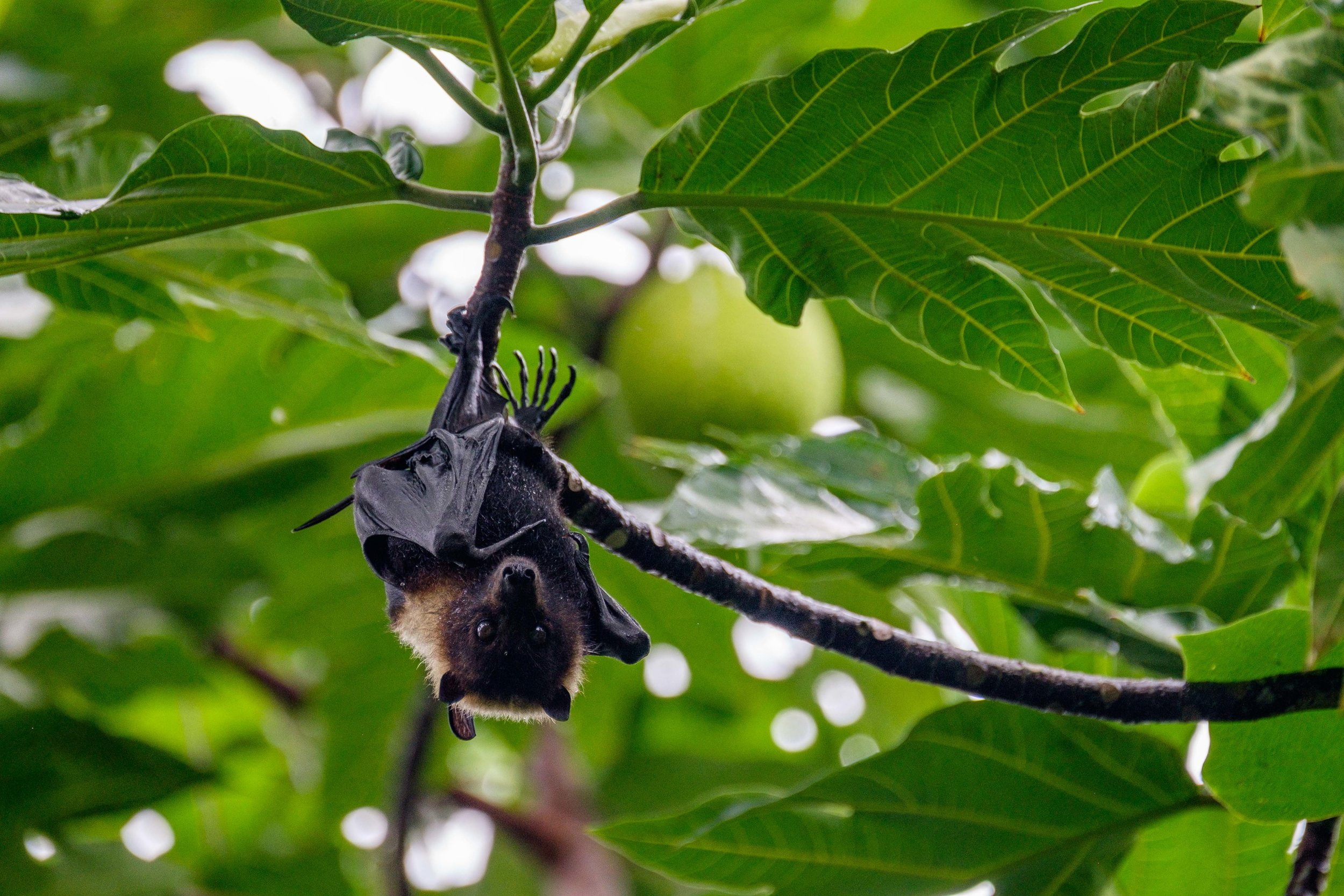 Fruit bats are common in all areas of the National Park of American Samoa, and they are one of top priorities of protection in the park. This one hangs from a banana tree in the mid-afternoon—a common sighting.