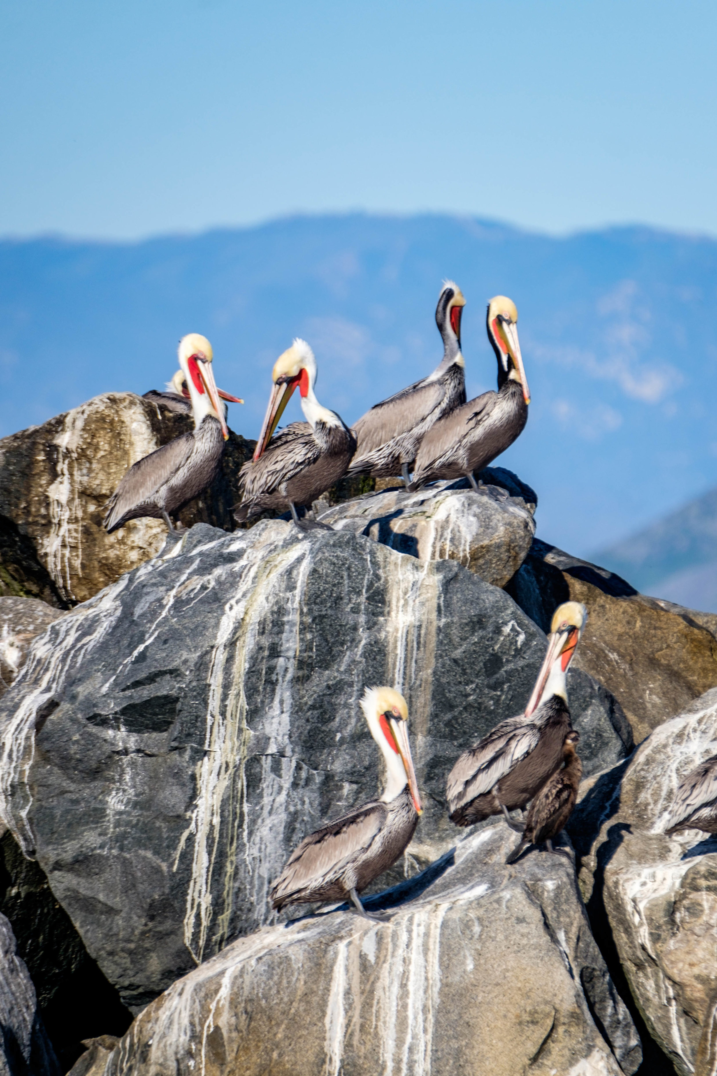 The largest breeding colony of California brown pelicans in the world can be found on the west side of Anancapa Island.