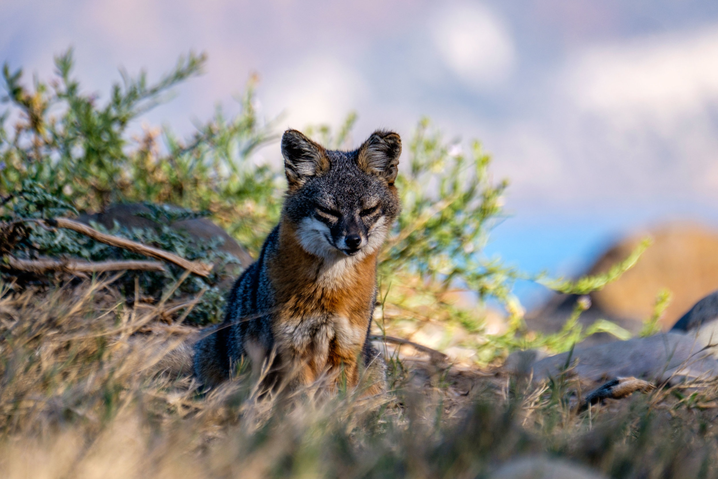 The Santa Cruz Island Fox lives on this island in this national park. They are tiny, precocious, and habituated to humans (but please never feed them!!)