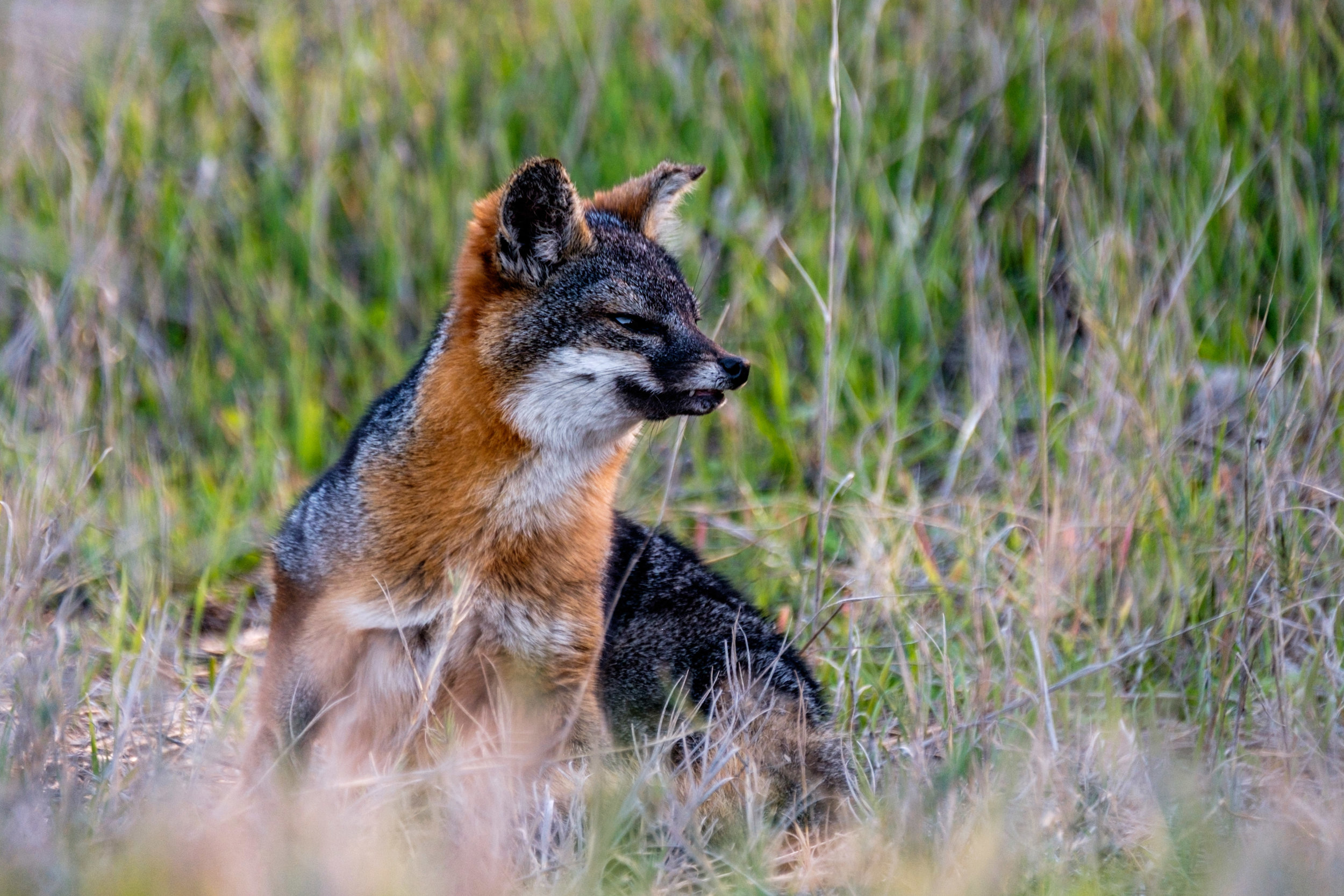 The Santa Cruz Island fox lives only on Santa Cruz Island.
