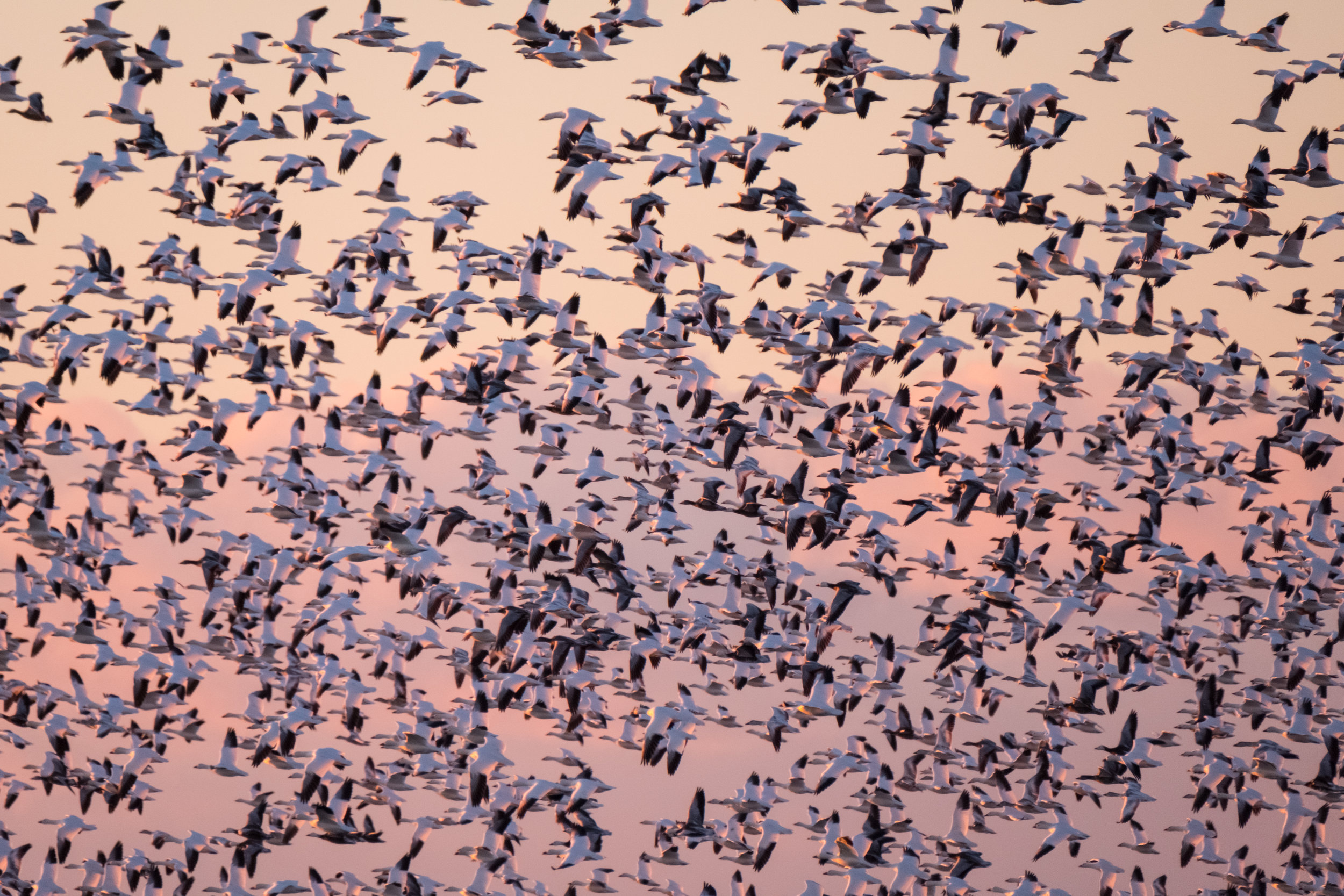 Migrating snow geese in flight at Blackwater Wildlife Refuge on Maryland's Eastern Shore. | Photo by Stefanie Payne