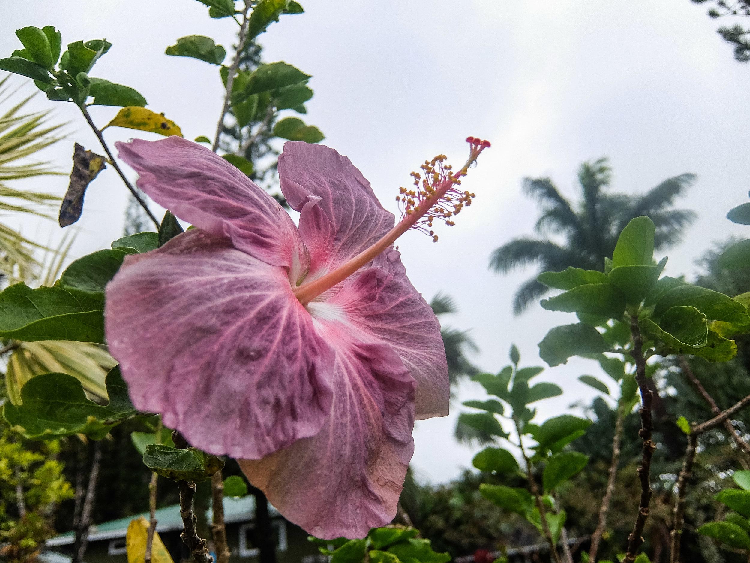 Hibiscus flower in Haleakala National Park on the island of Maui, Hawai'i.