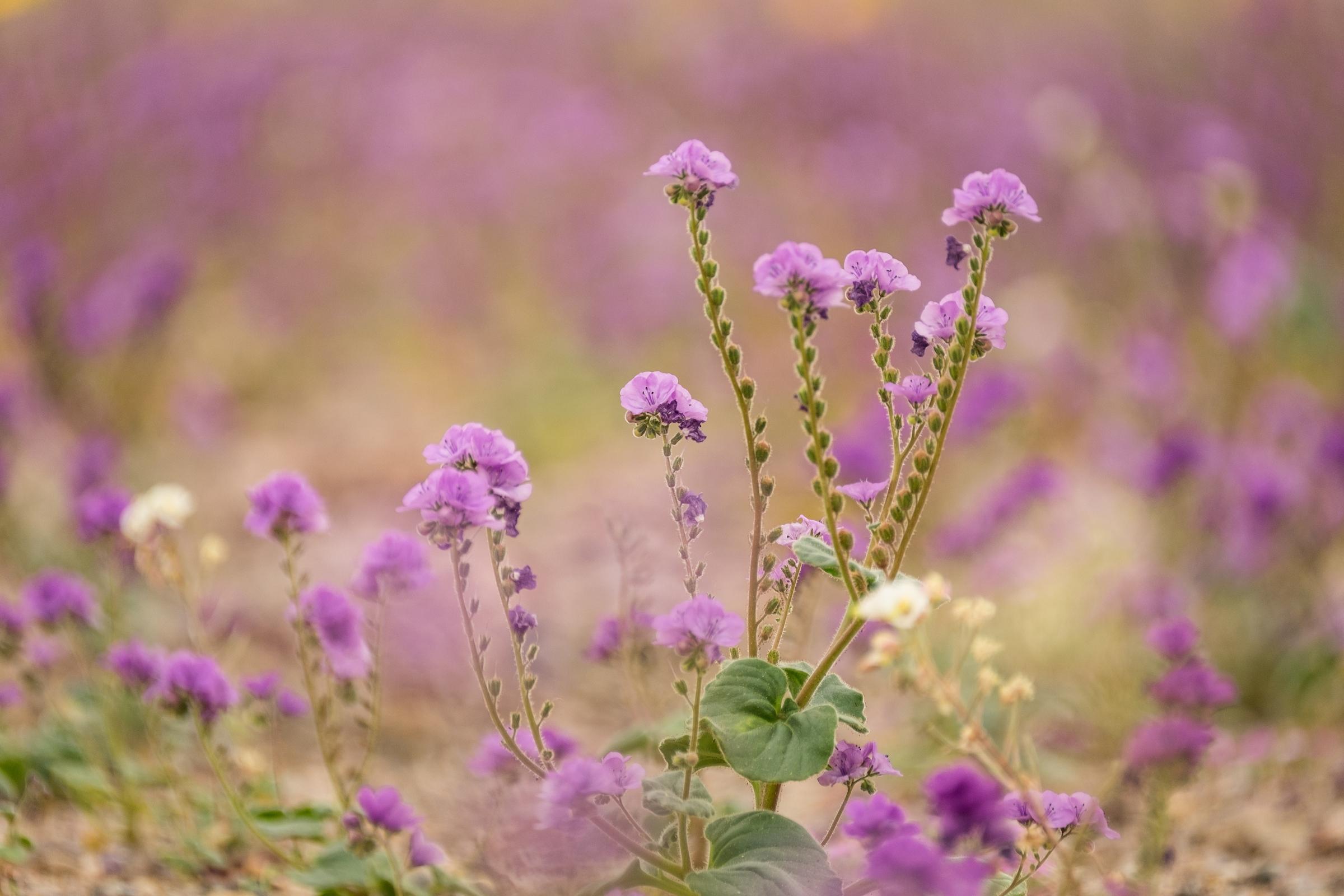 Superbloom wildflowers