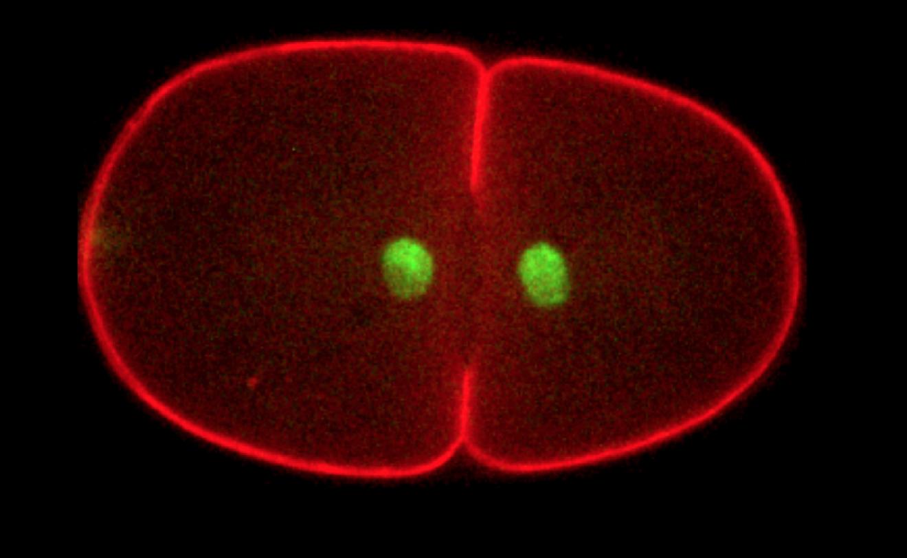 cytokinesis_Celegans.jpg