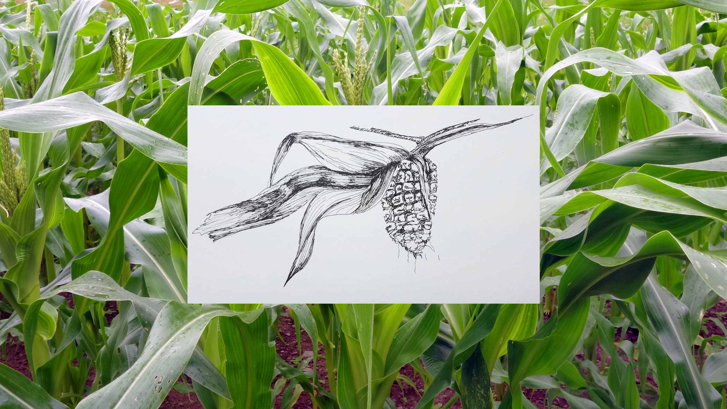 Photo: Abenaki Calais Flint Corn grown by Chief Shirly Hook of the Koasek Traditional Band of the Koas Abenaki Nation at the Abenaki Heritage Gardens in West Braintree, Vermont. Drawing: Abenaki Koas Corn by Amy Hook-Therrien.