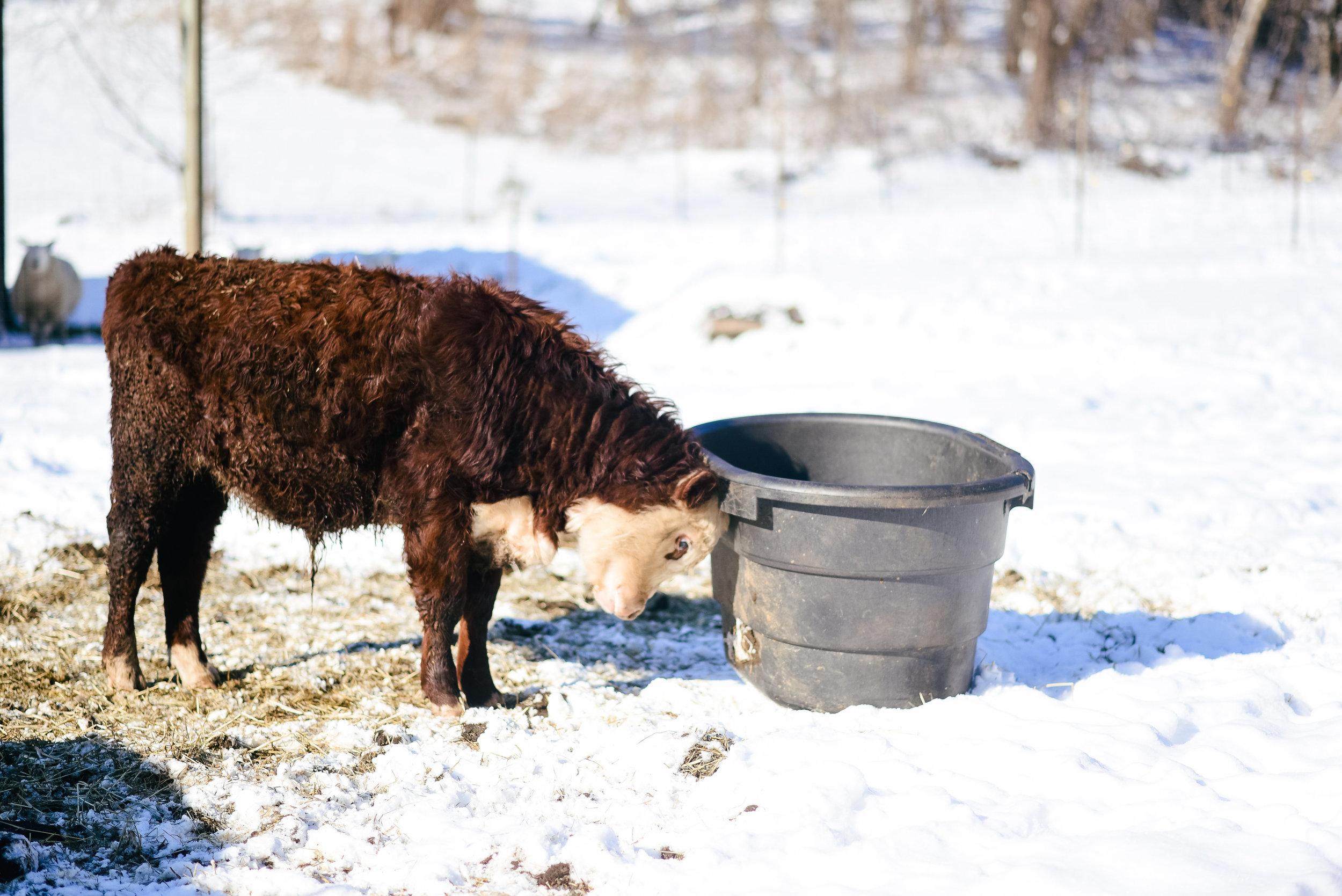 Homestead Wisconsin - grassfed beef
