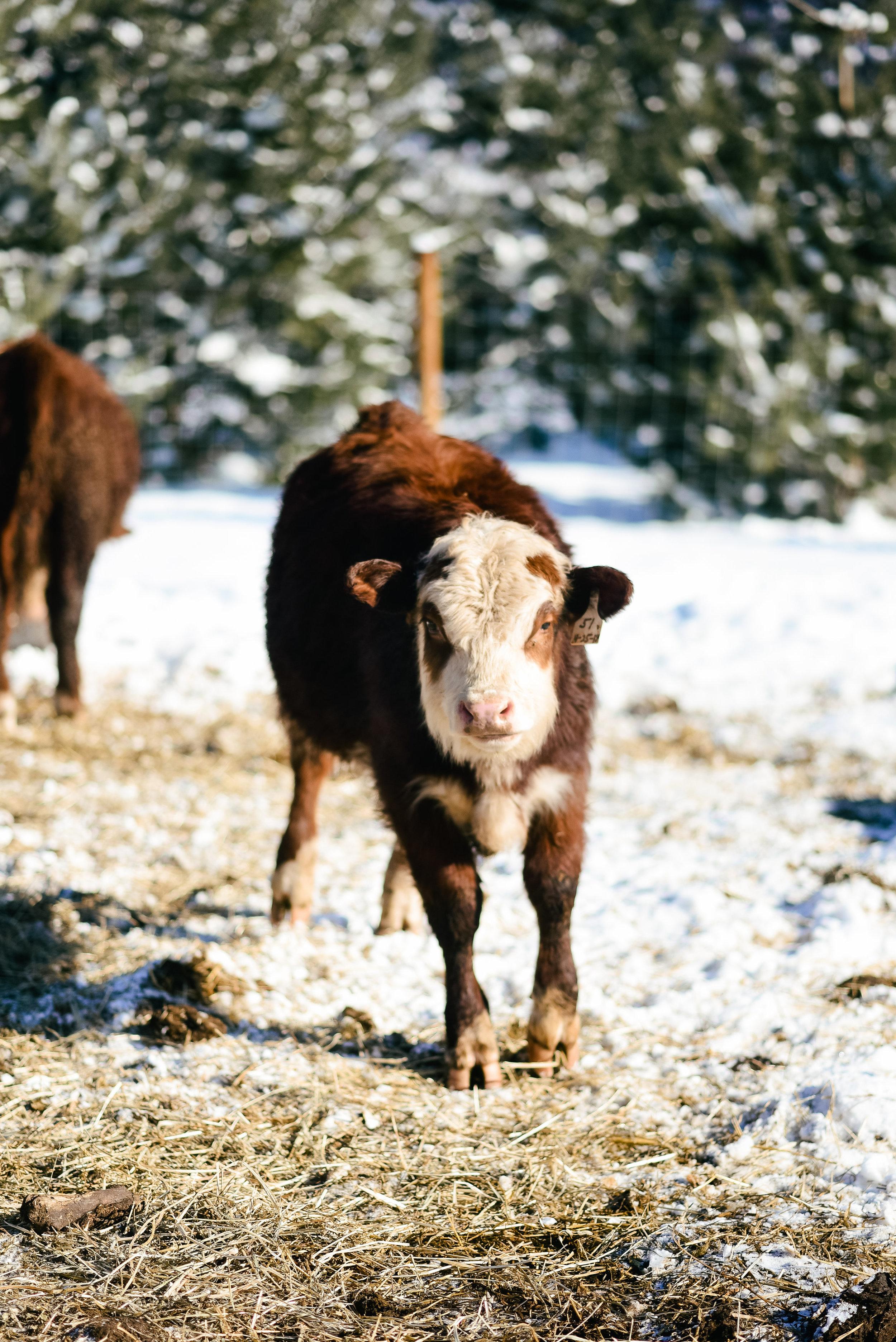 Homestead Wisconsin grassfed beef