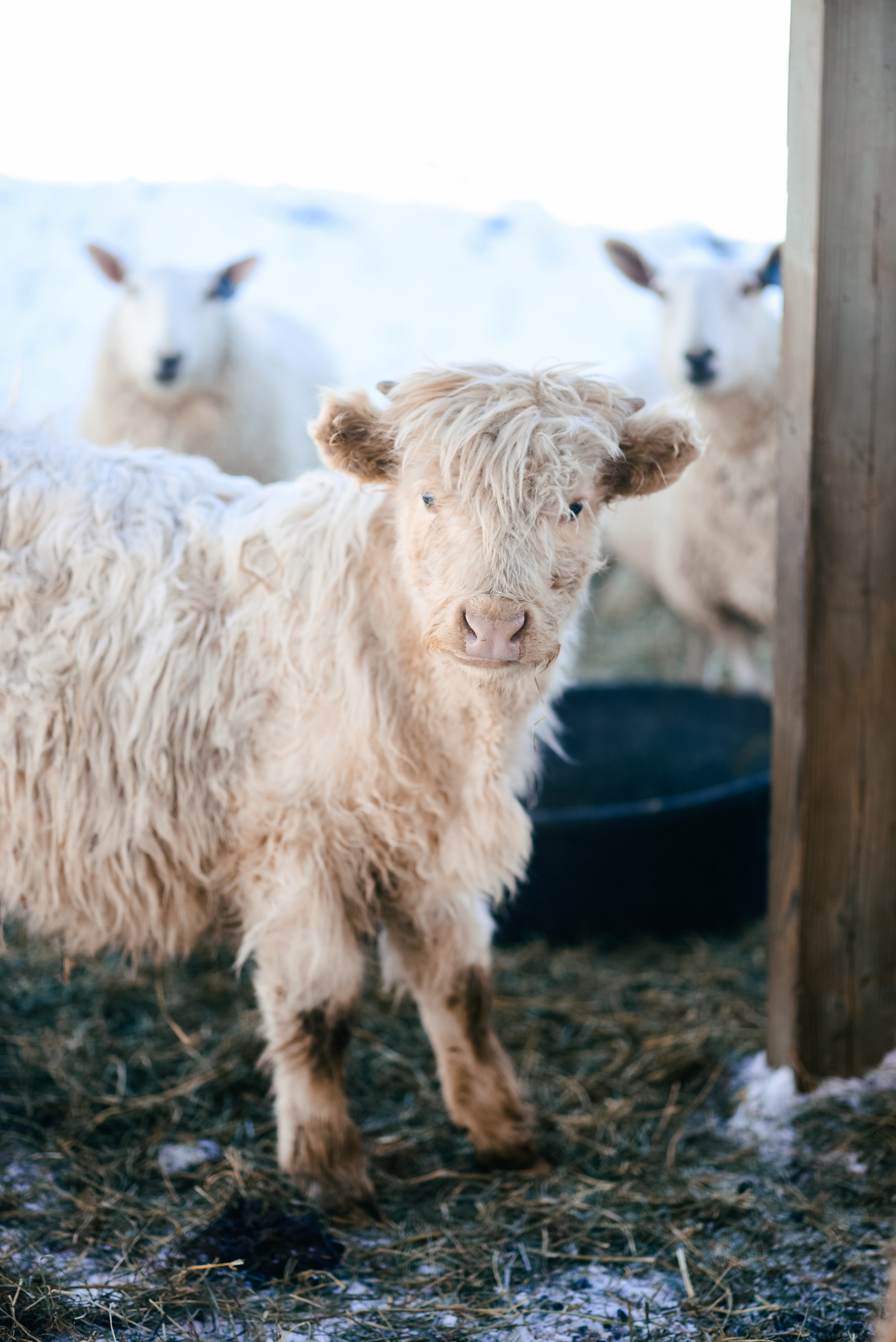 Highland beef Madison Wisconsin