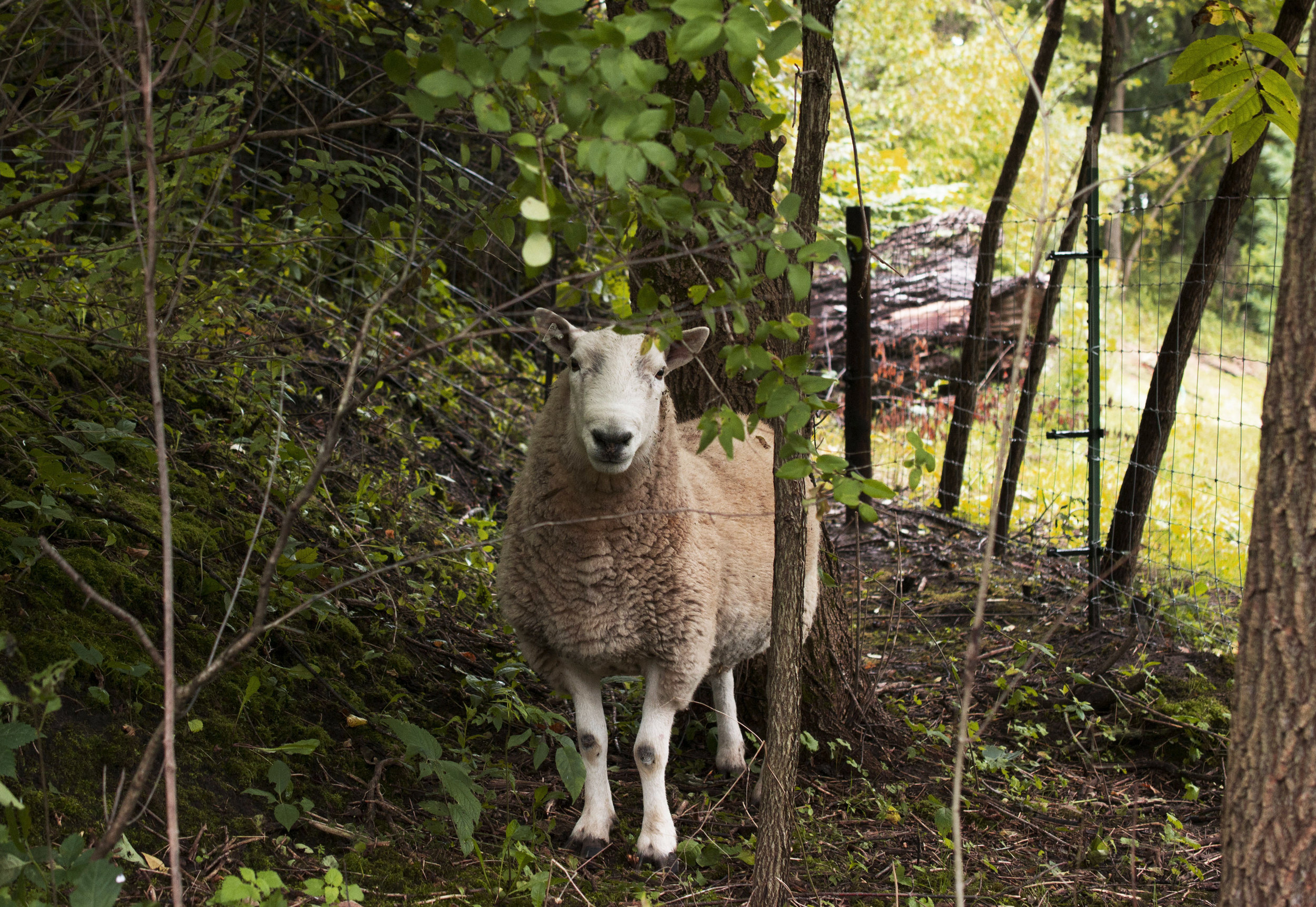 grassfed lamb Wisconsin