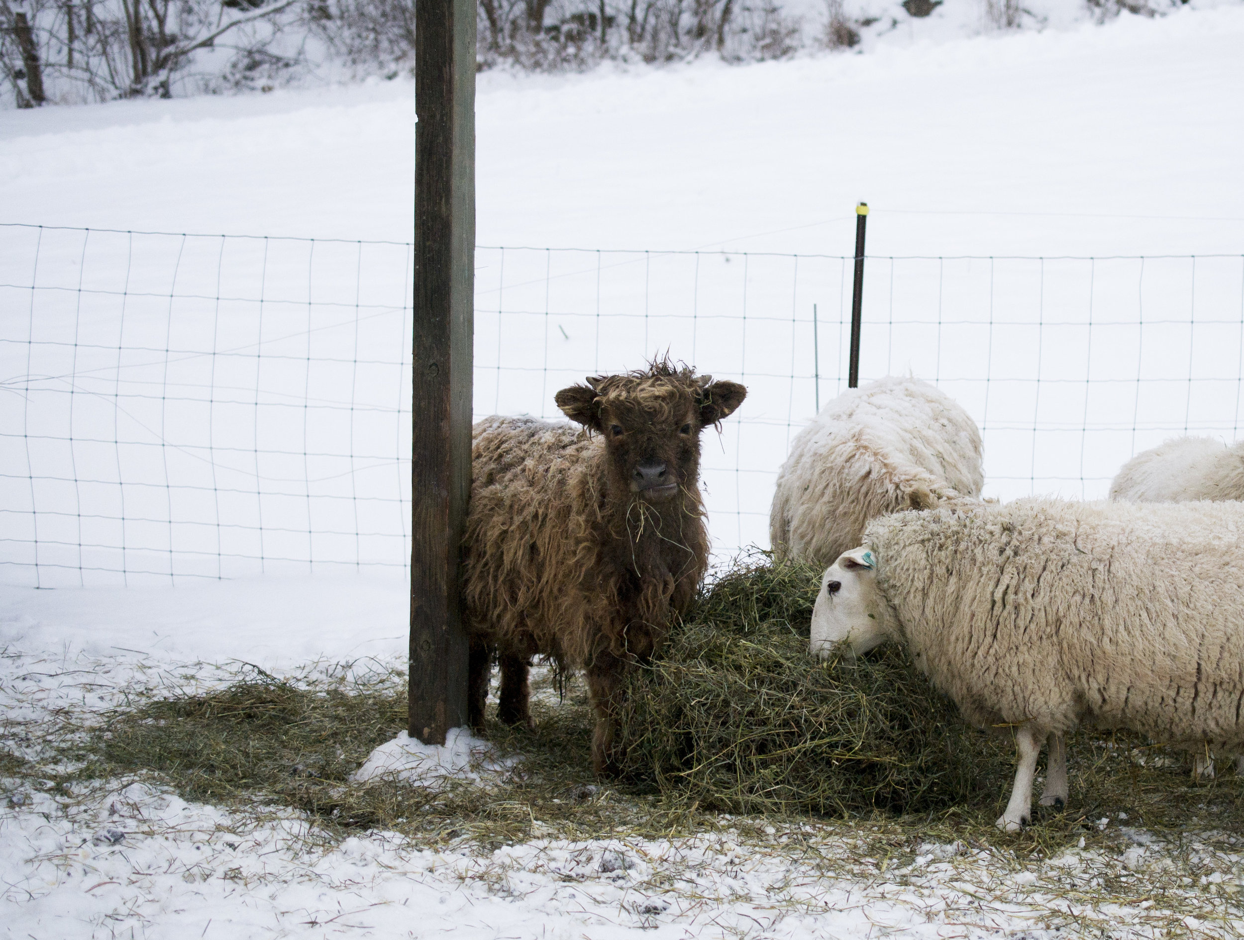 grassfed beef and lamb - raising sheep and cattle
