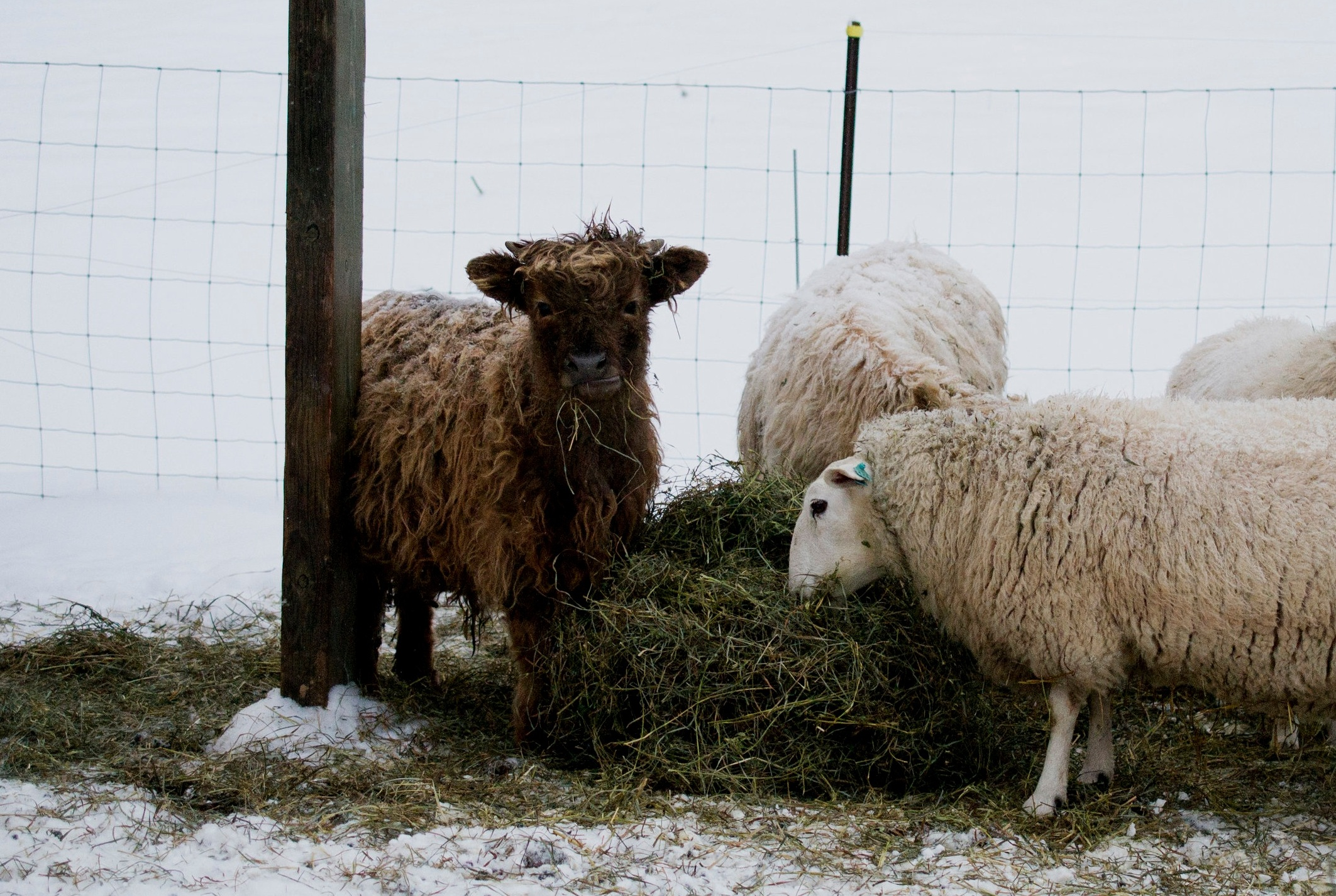 Our livestock - We raise cattle and sheep