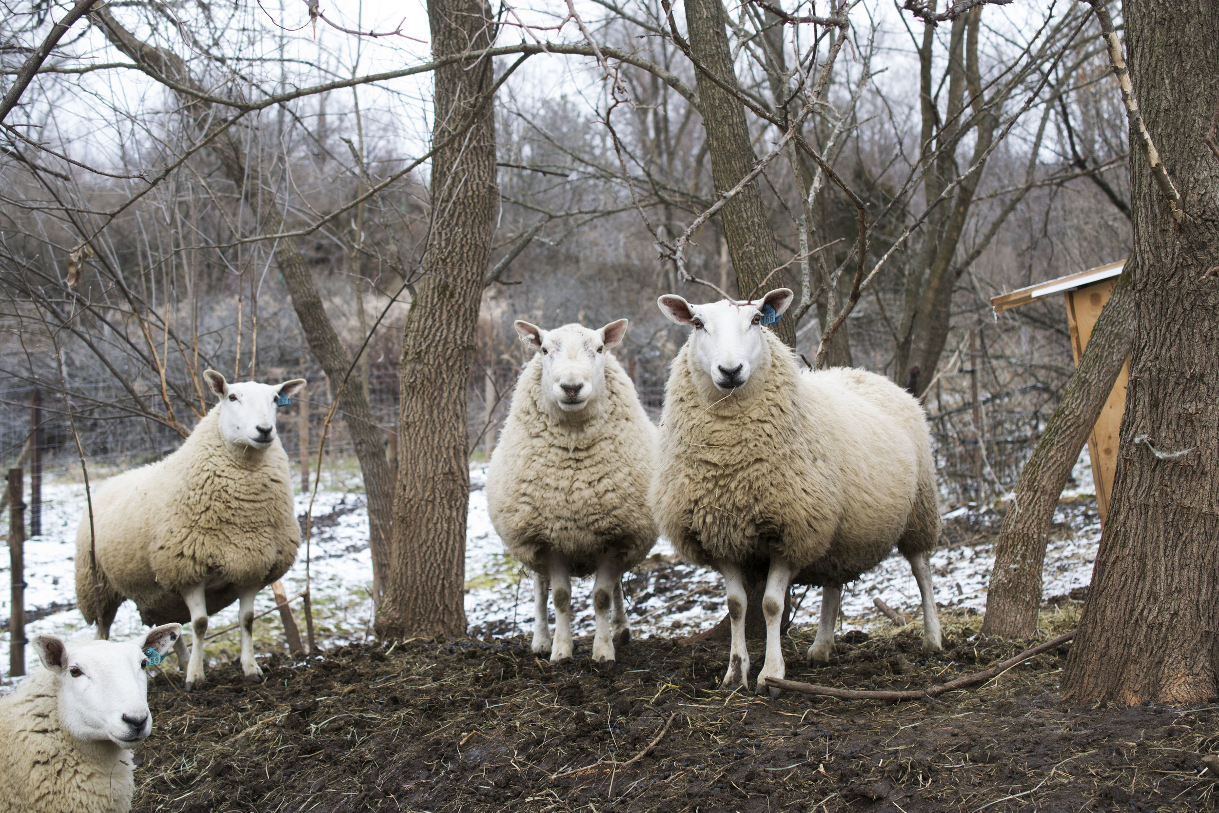 grass-fed beef and lamb madison wisconsin - humane farm - grassfed