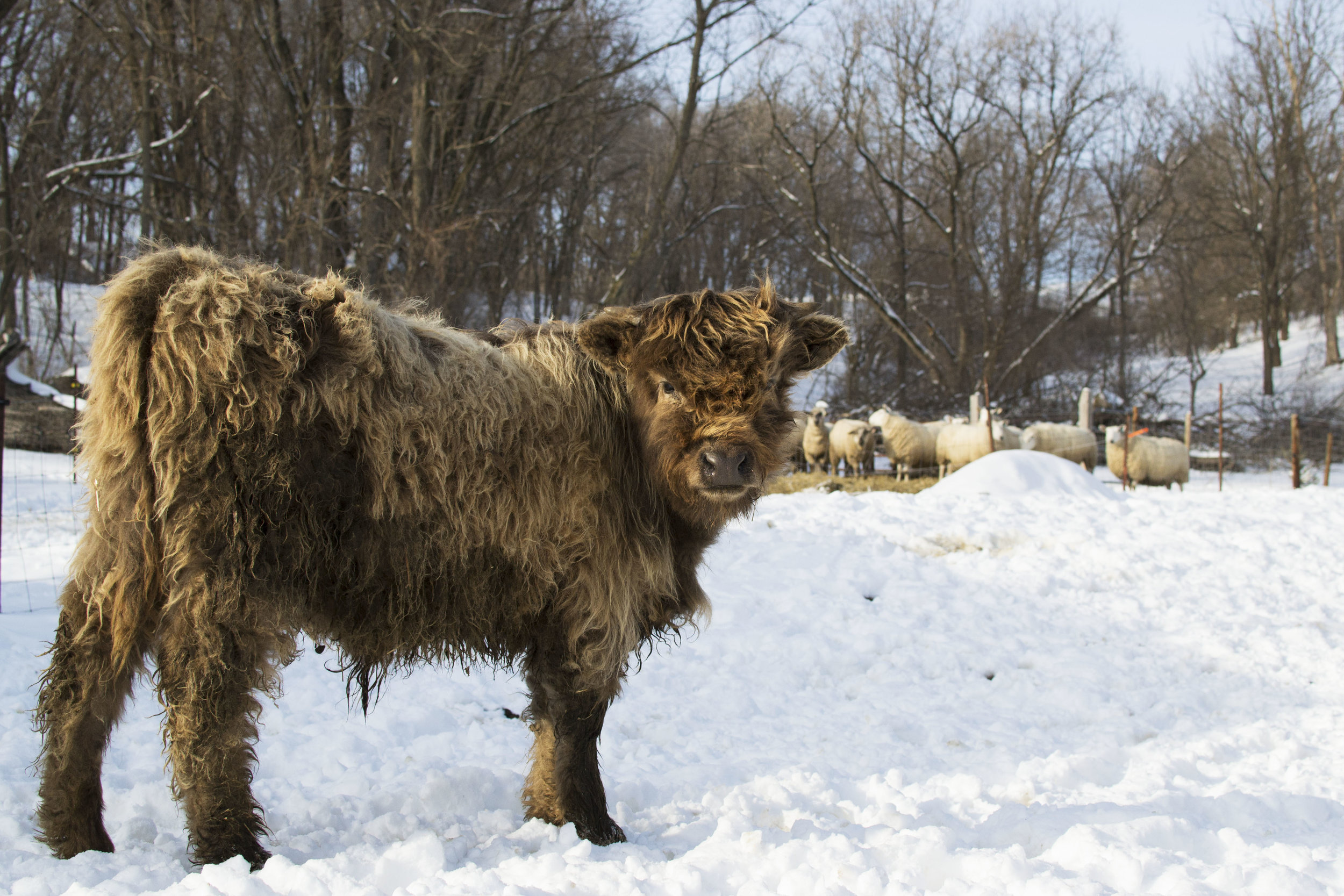 free delivery - grass-fed beef and lamb madison wisconsin - humane farm - grassfed