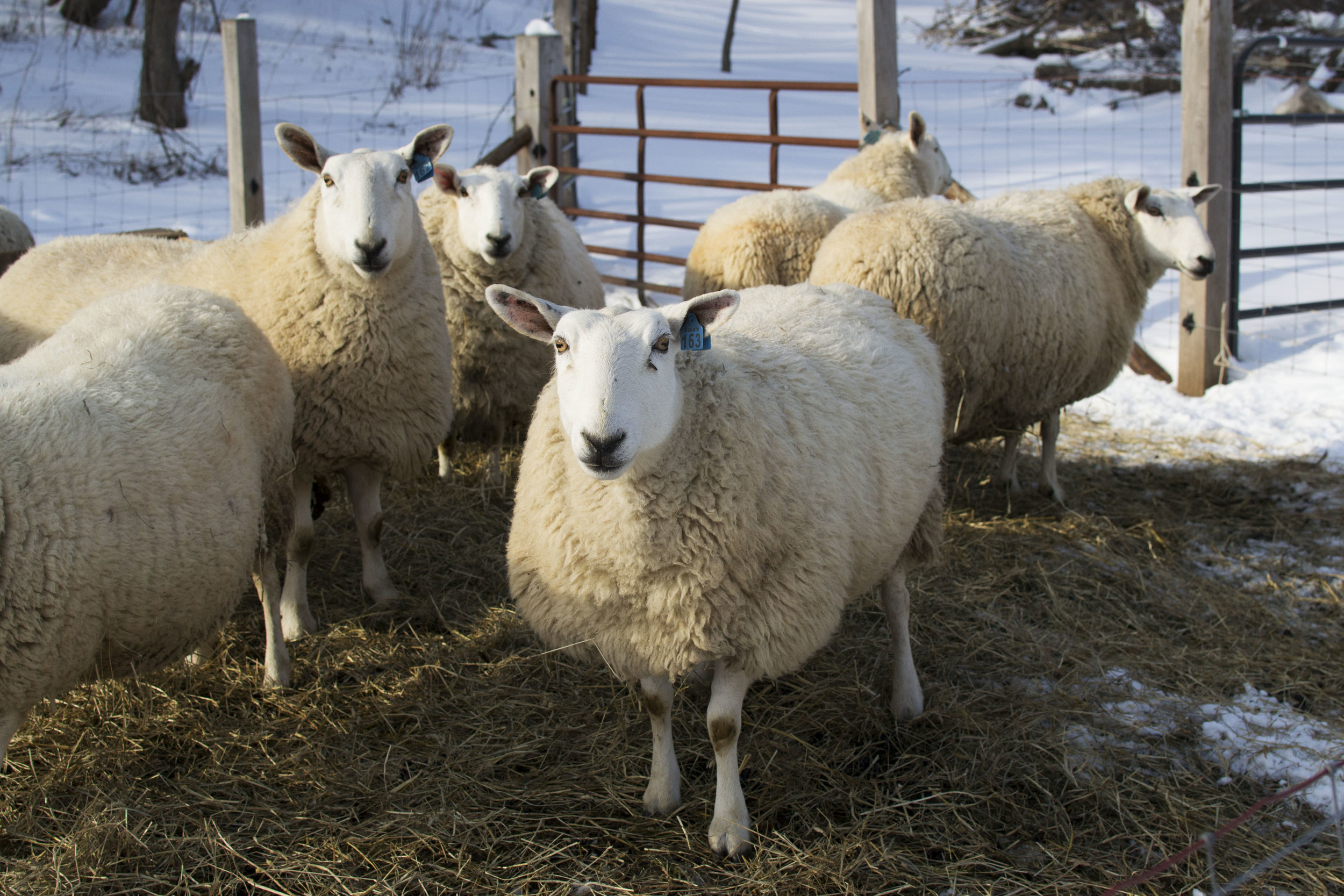 free delivery grass-fed beef and lamb madison wisconsin - humane farm - grassfed