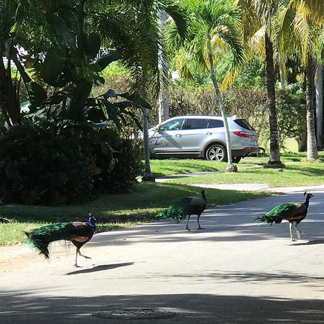 evidently, peacocks just roam the streets around here