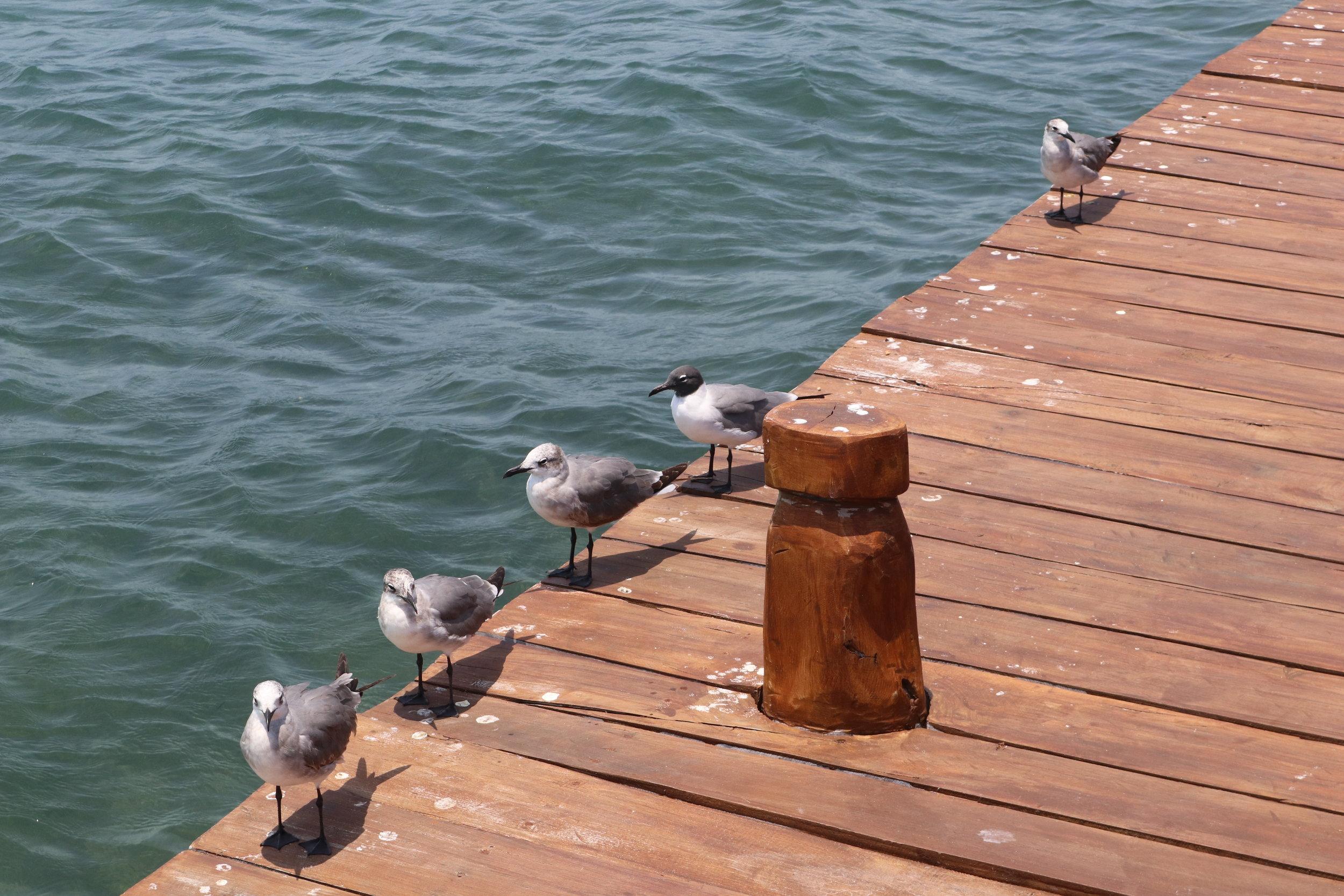 Isla Mujeres Seagulls .JPG