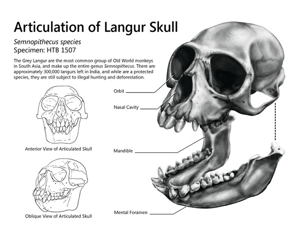 langur-skull-edited-final.jpg