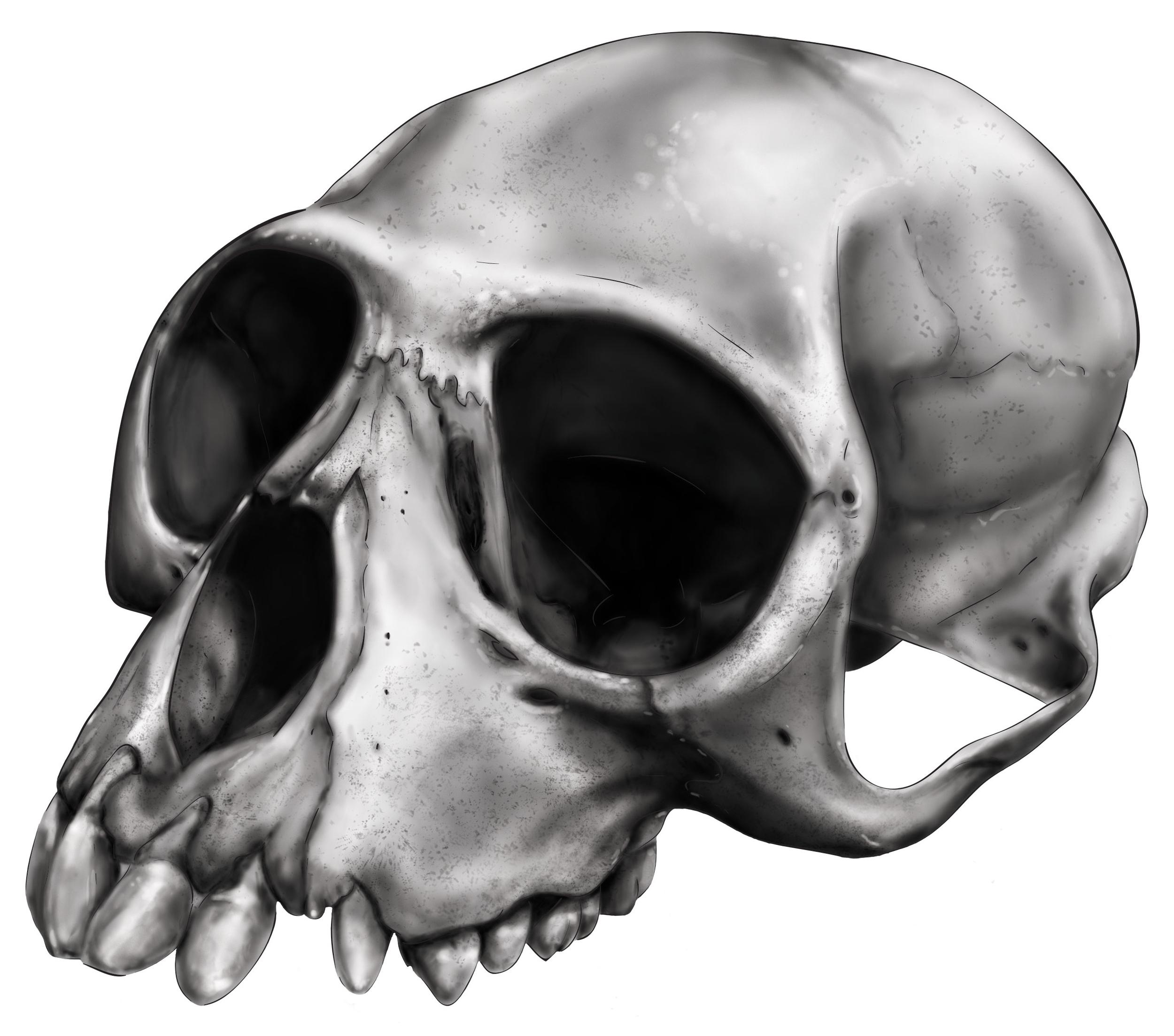 langur skull clean.jpg